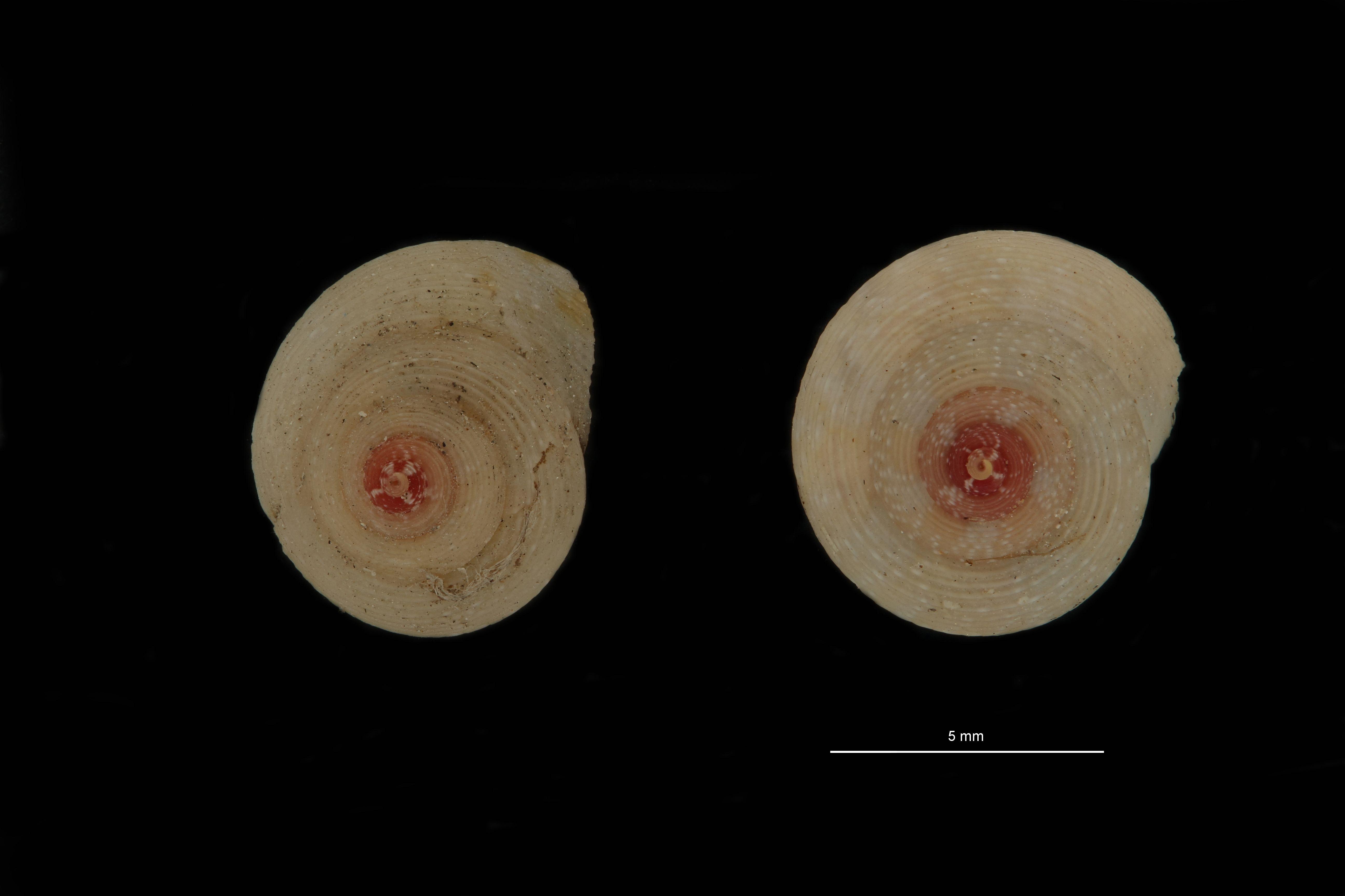 BE-RBINS-INV PARATYPE MT 787 Gibbula turbinoides var. albida GROUPE.jpg
