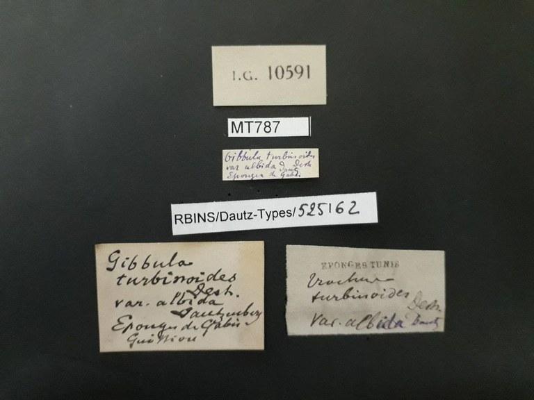 BE-RBINS-INV PARATYPE MT 787 Gibbula turbinoides var. albida LABELS.jpg
