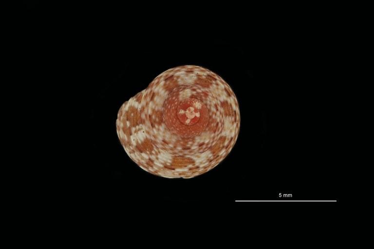 BE-RBINS-INV PARATYPE MT 786 Gibbula turbinoides var. cincta DORSAL.jpg
