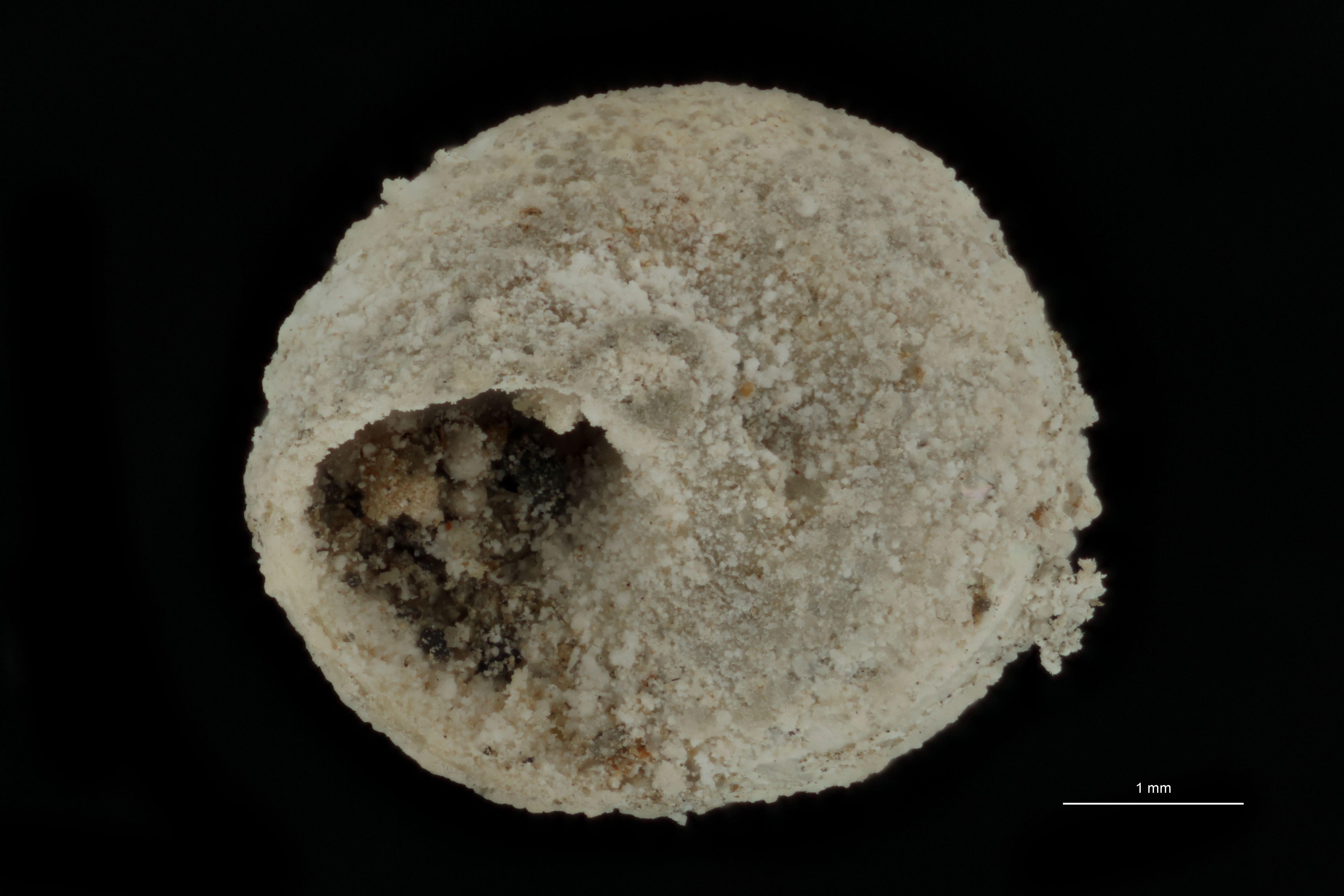 BE-RBINS-INV PARATYPE MT 772 Solariella micans VENTRAL.jpg