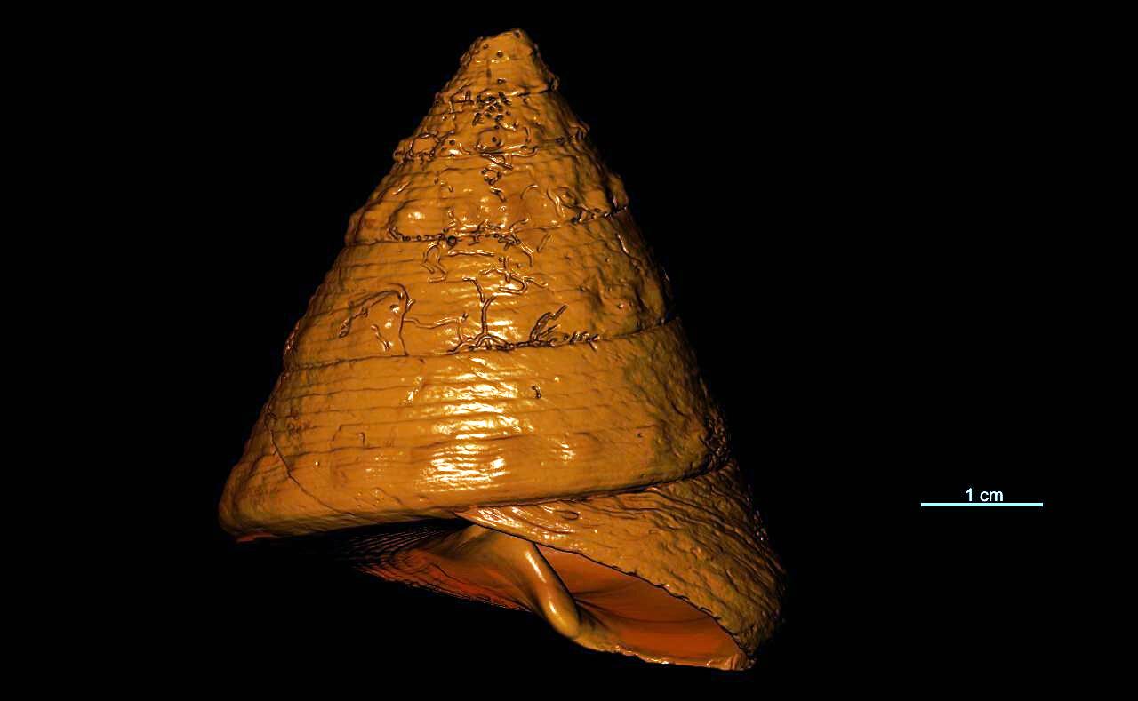 BE-RBINS-INV-TYPES-MT-16-Trochus-montebelloensis-ORAL-MCT-RX.jpg