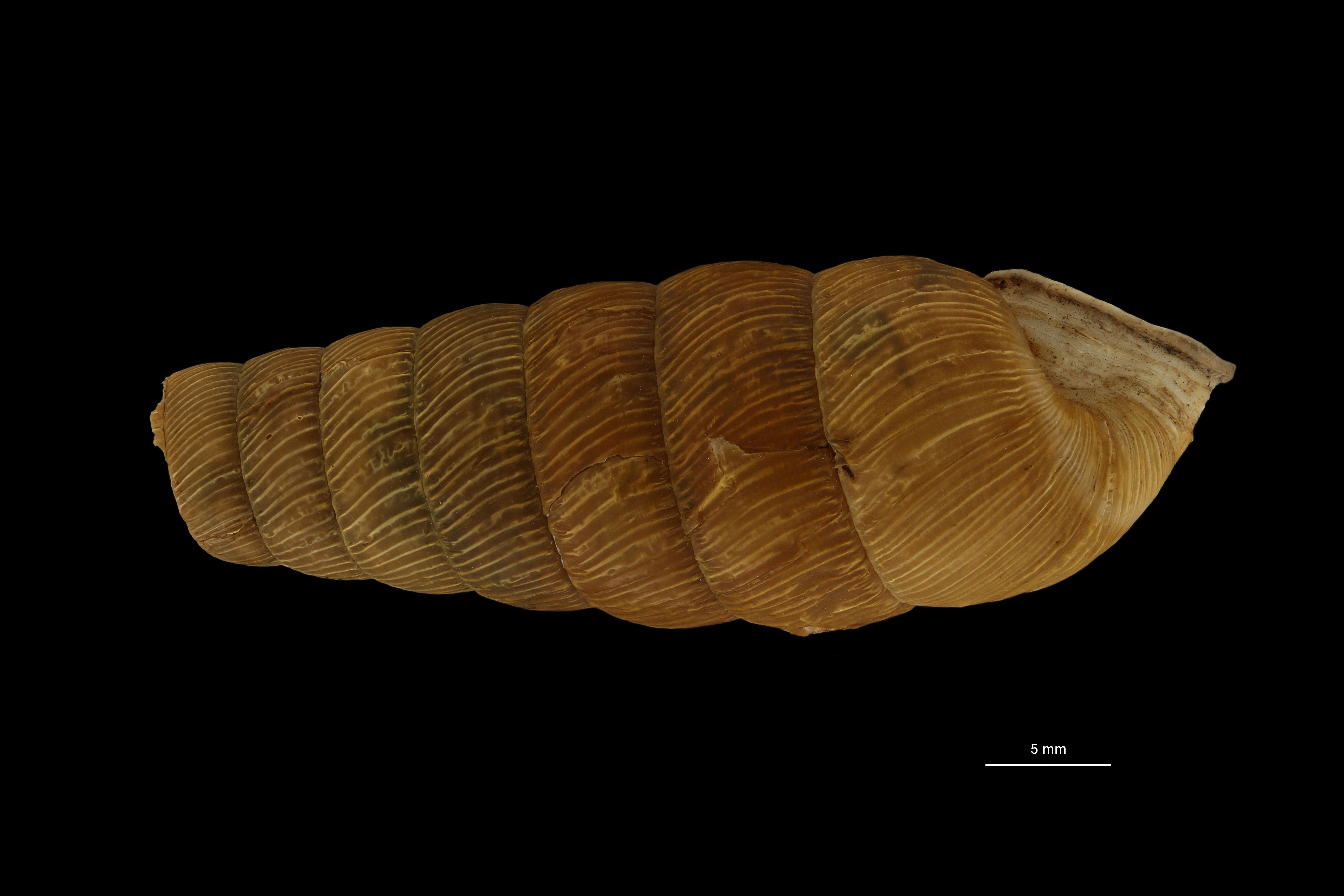 BE-RBINS-INV MT.3666 Eucalodium (Oligostylus) moussonianum st L.jpg