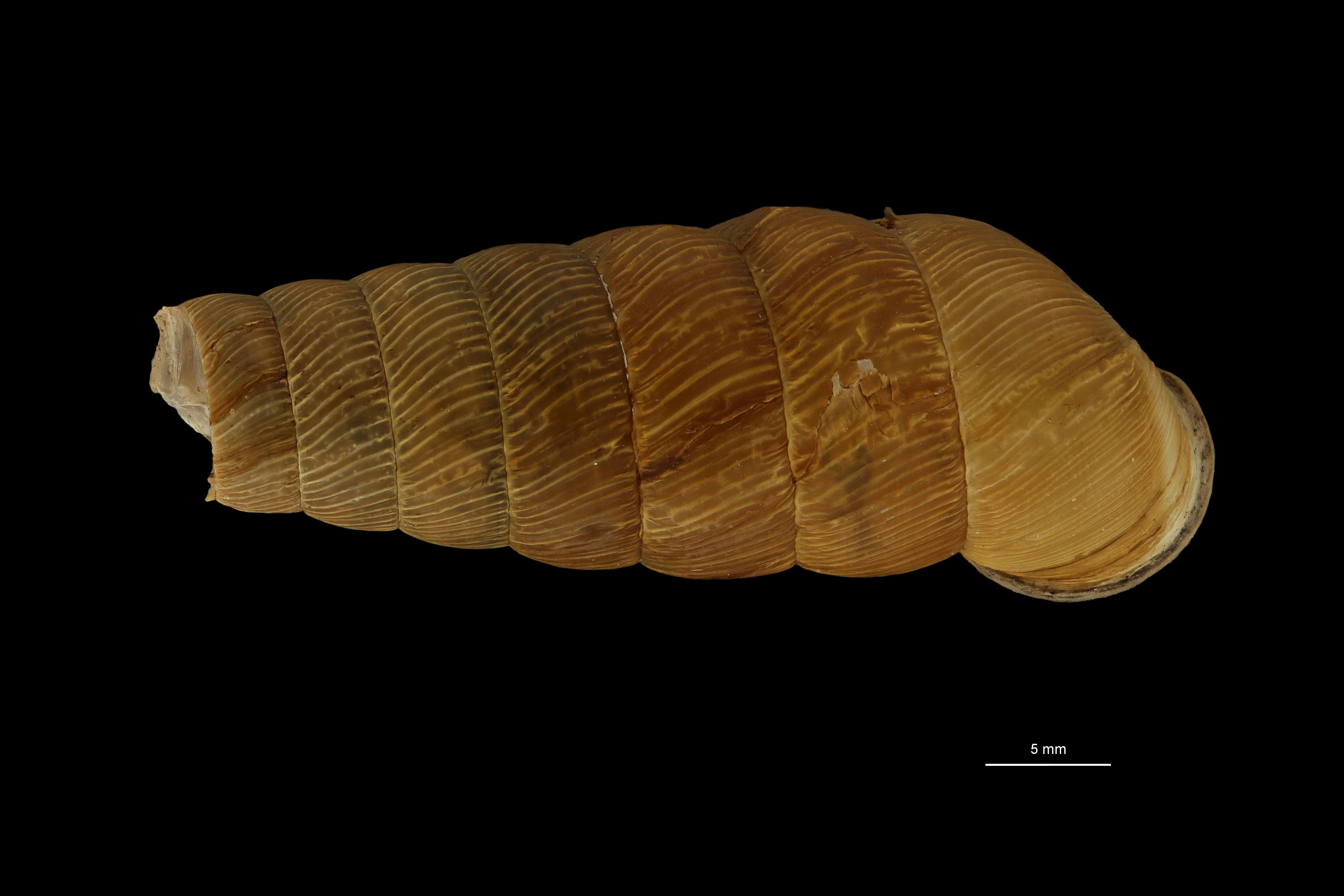 Eucalodium moussonianum st D.jpg