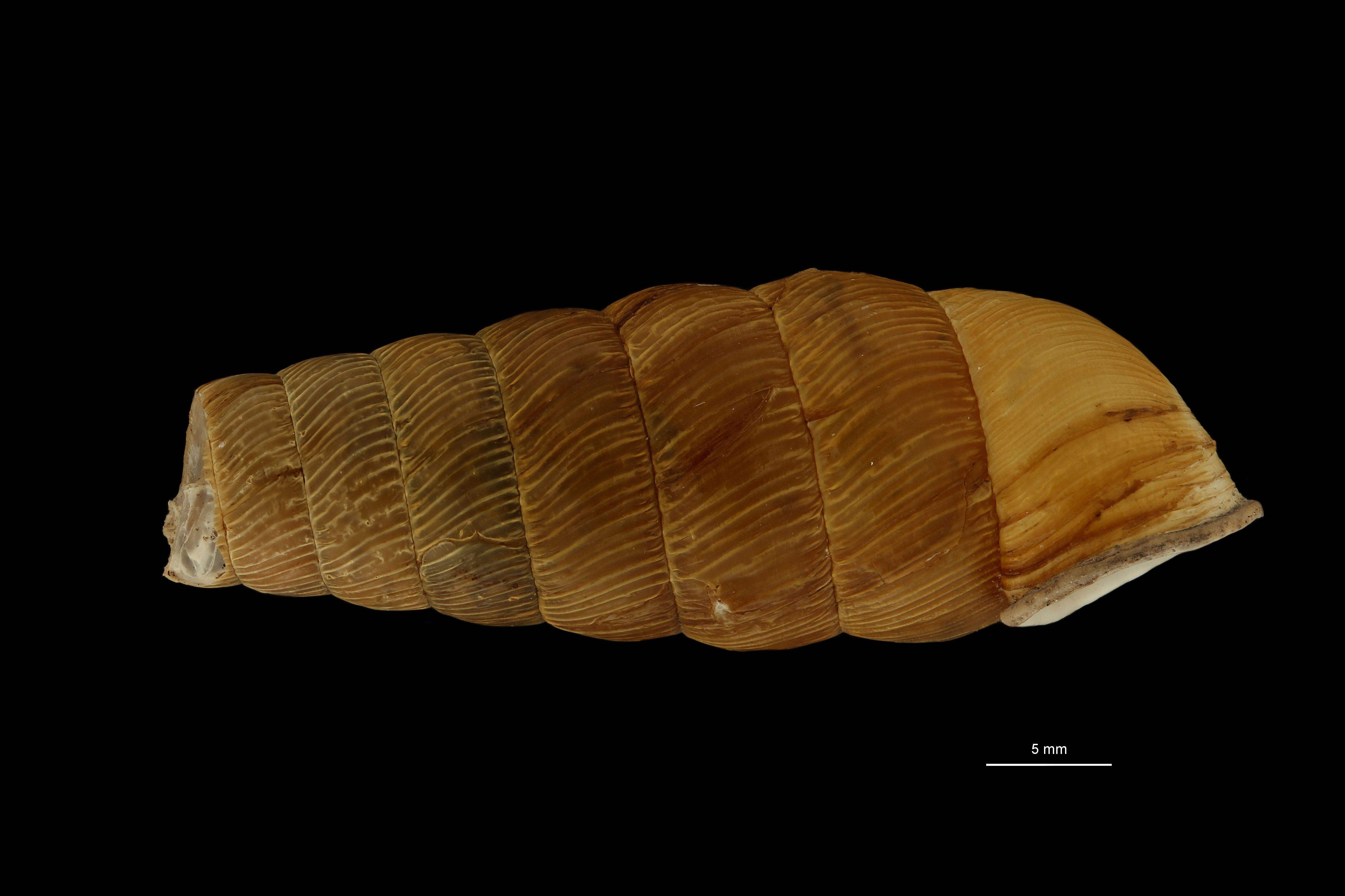 Eucalodium moussonianum st L2.jpg