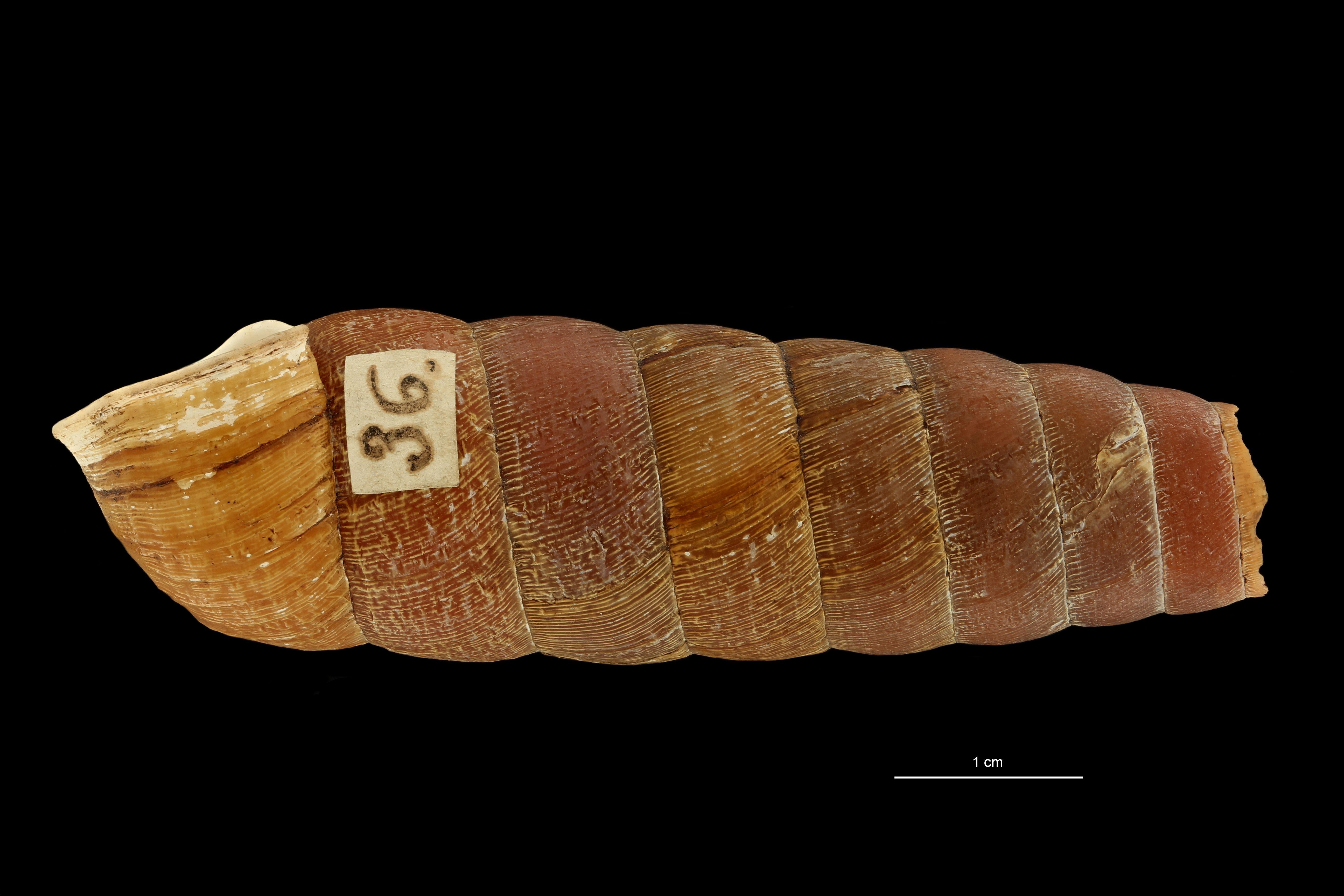 BE-RBINS-INV MT.3660 Eucalodium (Oligostylus) sumichrasti st L.jpg