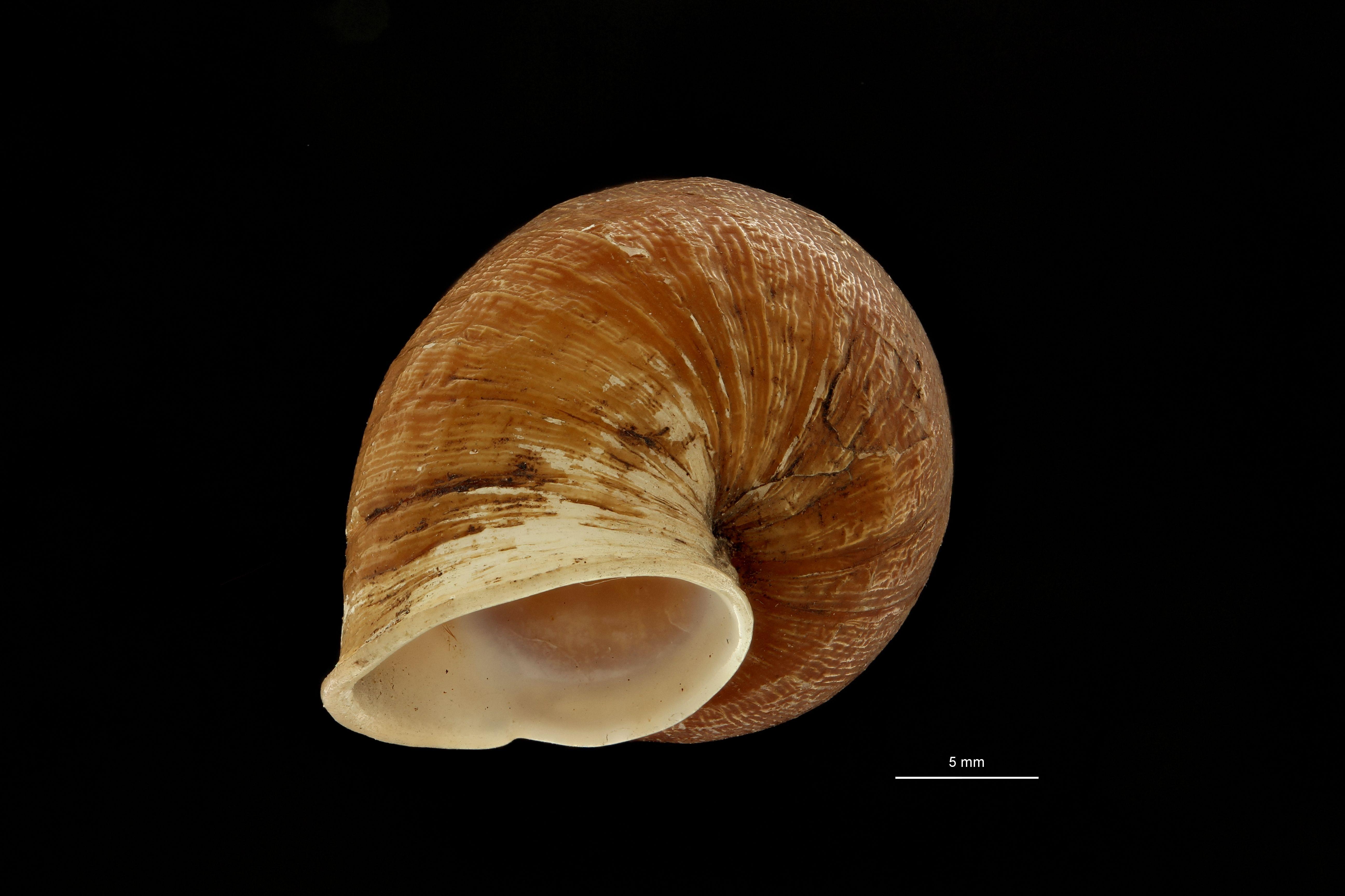 BE-RBINS-INV MT.3660 Eucalodium (Oligostylus) sumichrasti st U.jpg