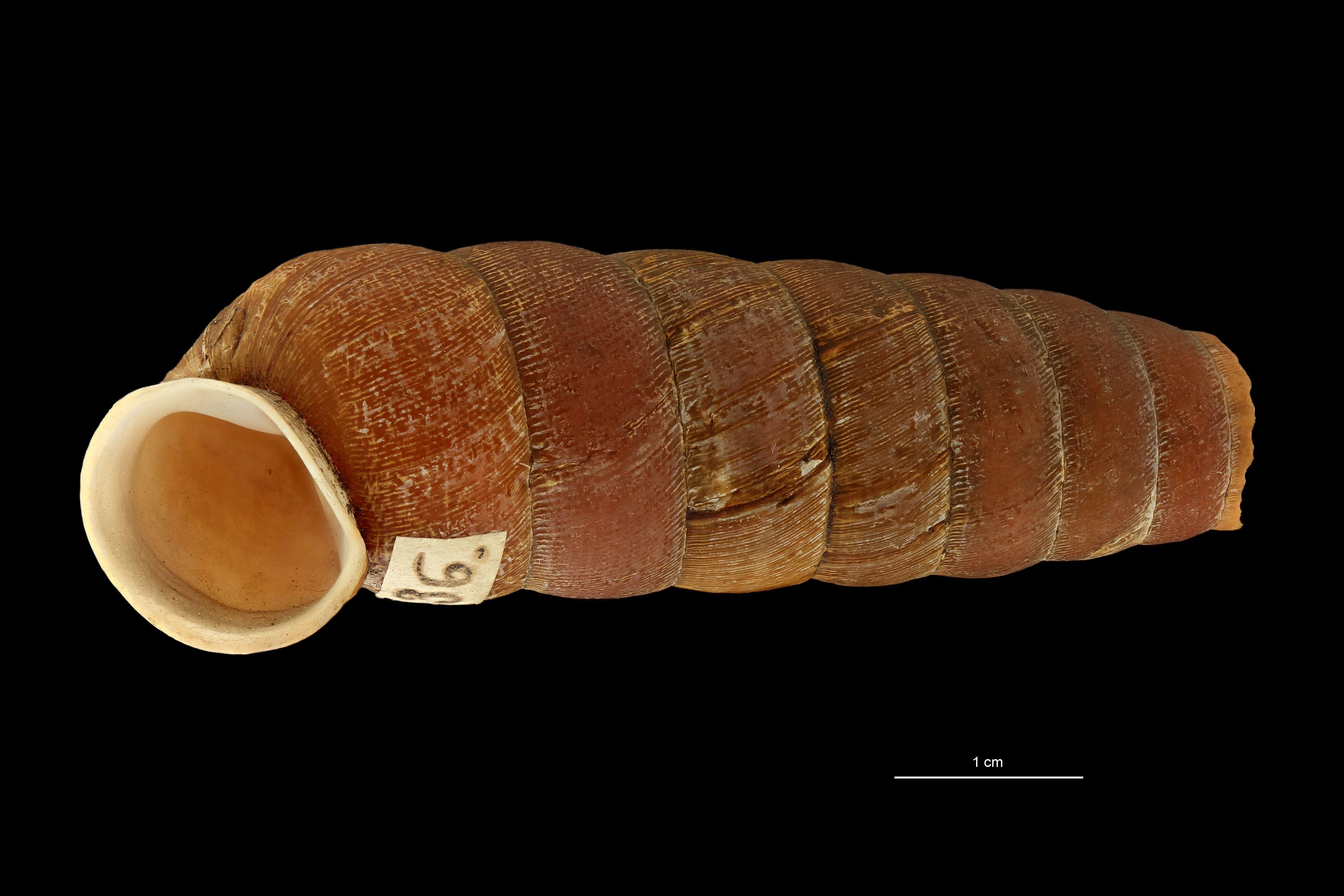 BE-RBINS-INV MT.3660 Eucalodium (Oligostylus) sumichrasti st F.jpg