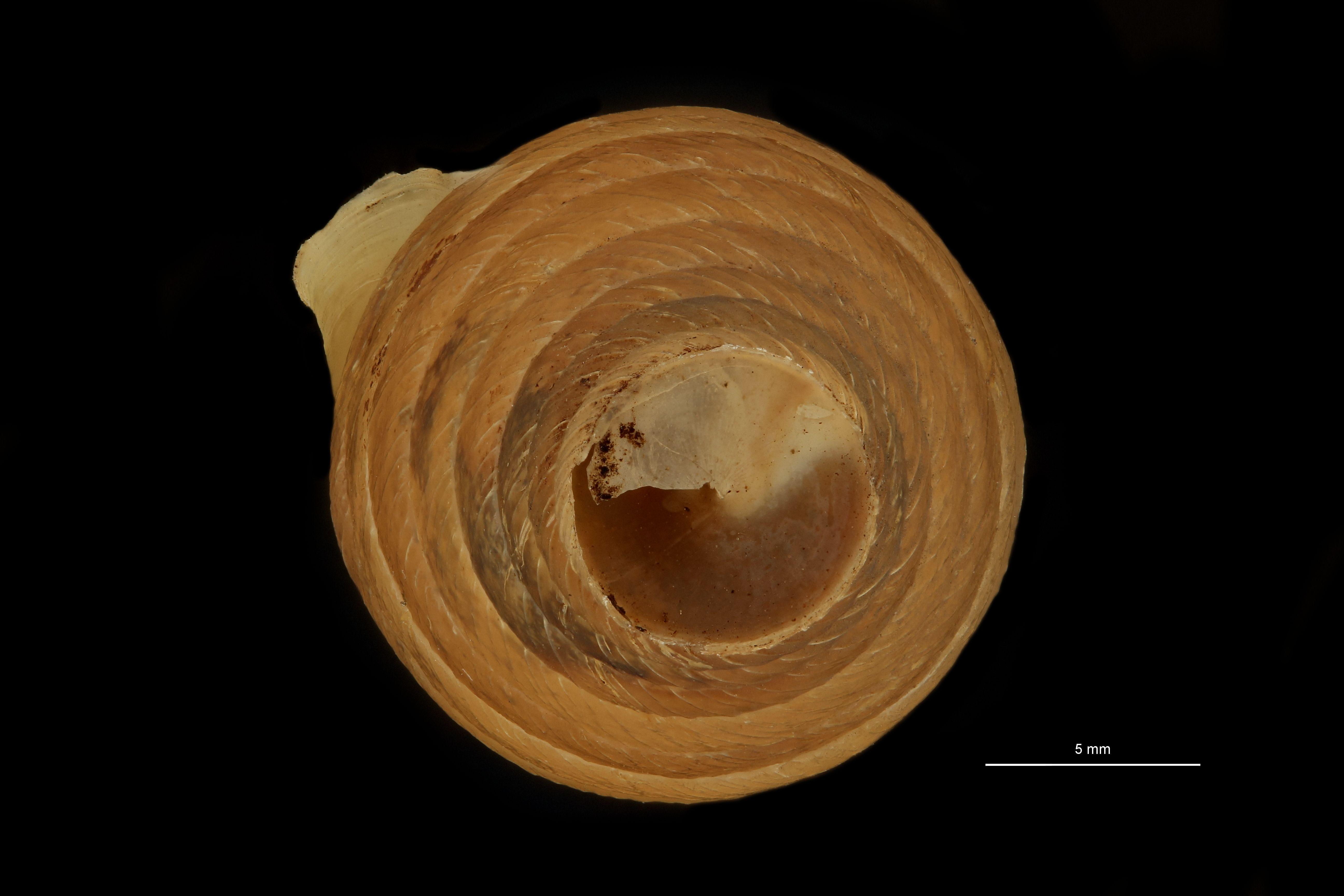 BE-RBINS-INV MT.3665 Eucalodium (Resupinata) edwardsianum st U.jpg
