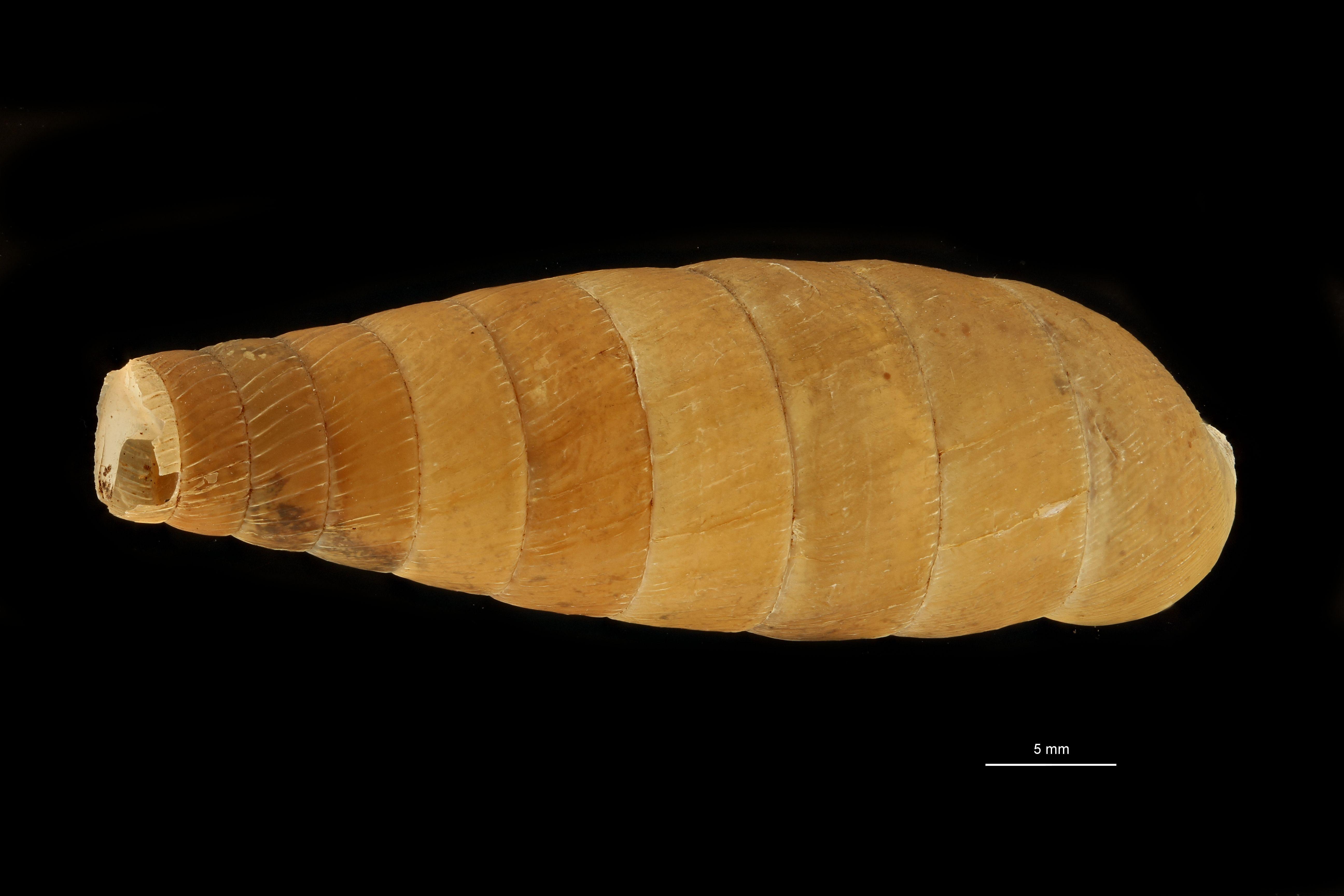 BE-RBINS-INV MT.3665 Eucalodium (Resupinata) edwardsianum st D.jpg
