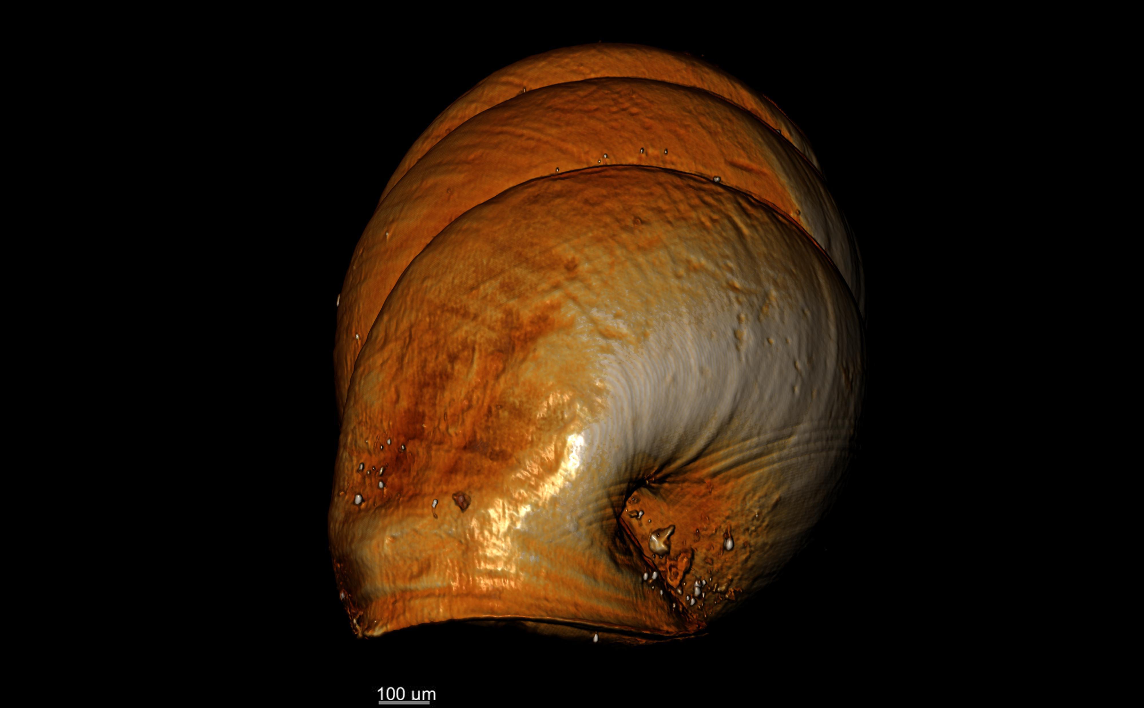 BE-RBINS-INV-TYPES-MT-2556-Gastrocopta-seignaciana-MCT-XRE-ANTERIOR.jpg
