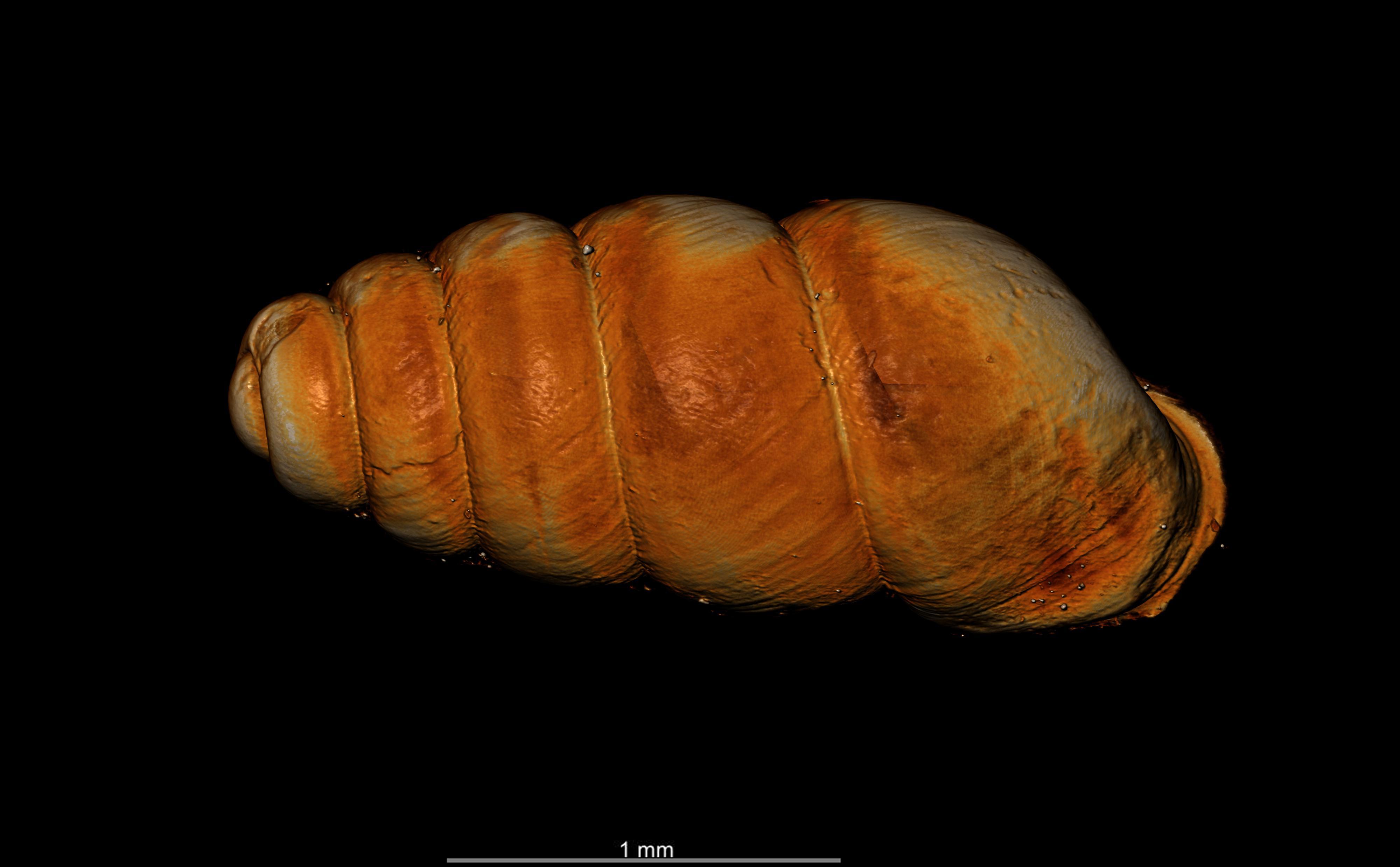 BE-RBINS-INV-TYPES-MT-2556-Gastrocopta-seignaciana-MCT-XRE-DORSAL.jpg