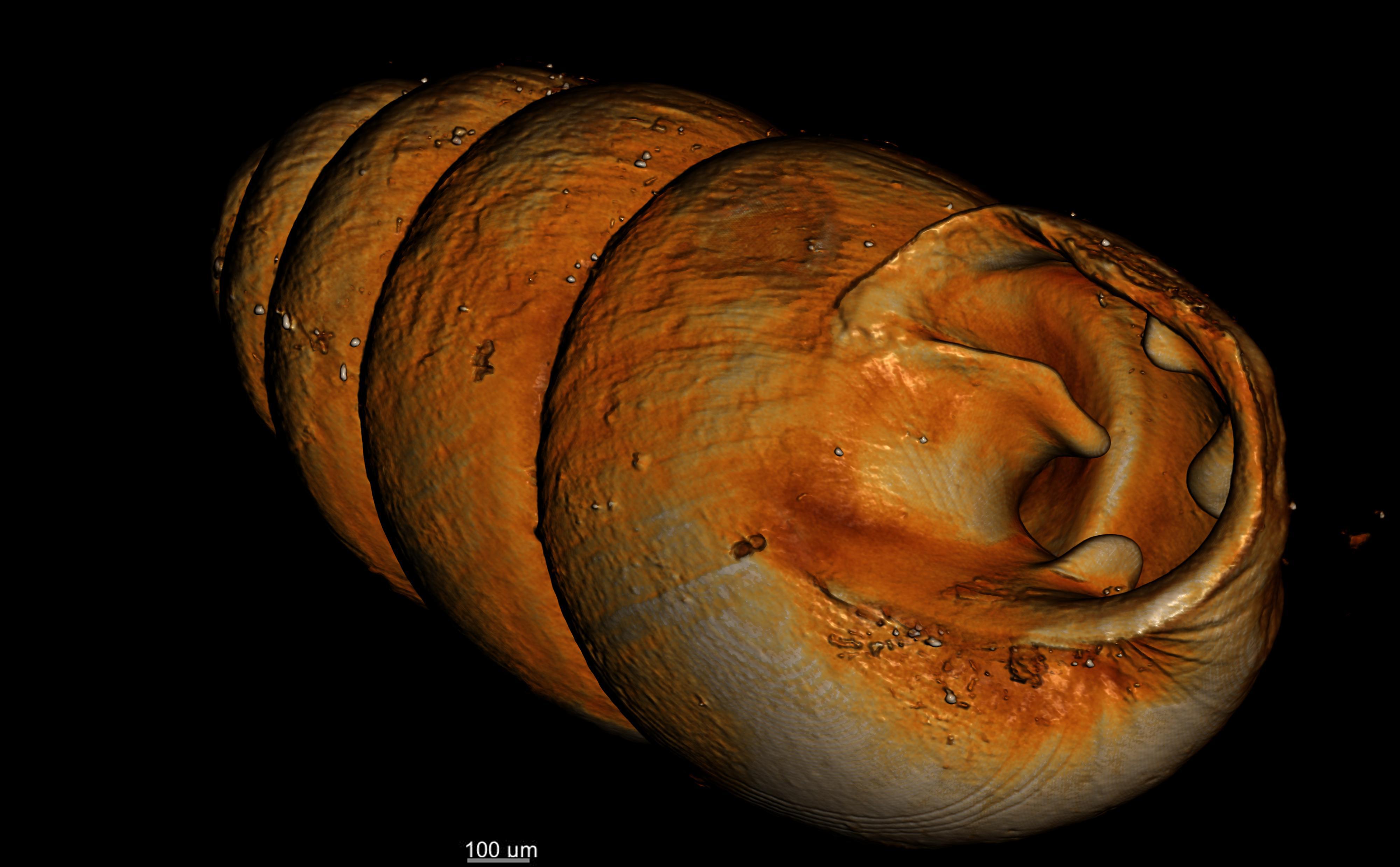 BE-RBINS-INV-TYPES-MT-2556-Gastrocopta-seignaciana-MCT-XRE-OBLIQUE.jpg