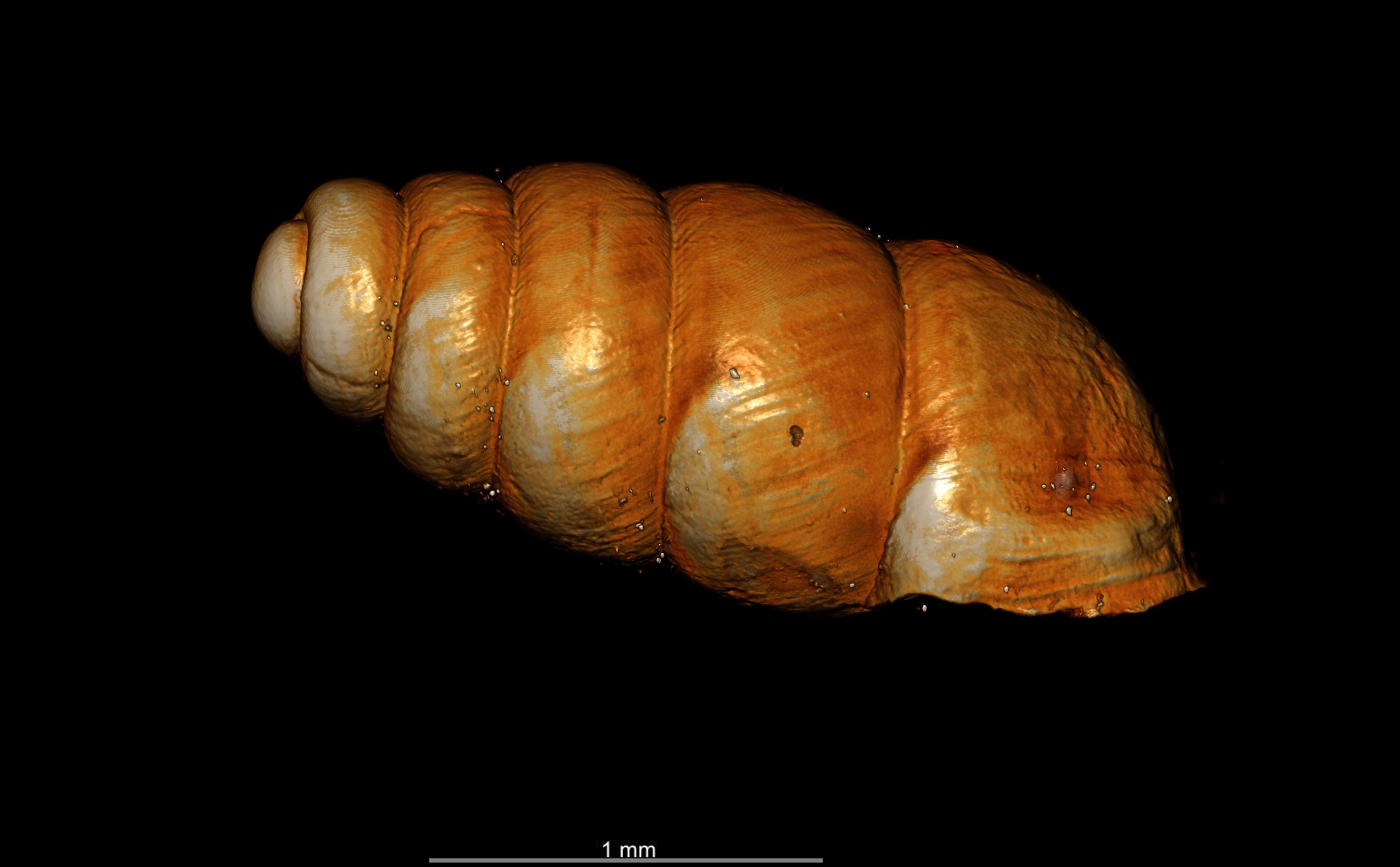 BE-RBINS-INV-TYPES-MT-2556-Gastrocopta-seignaciana-MCT-XRE-RIGHT.jpg