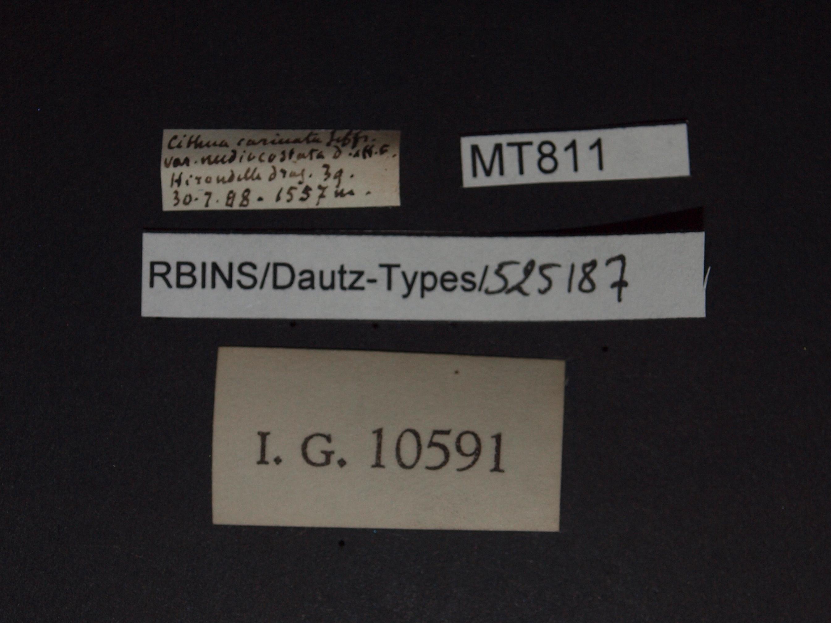 BE-RBINS-INV MT 811 Cithna carinata var. mediocostata pt Lb.jpg