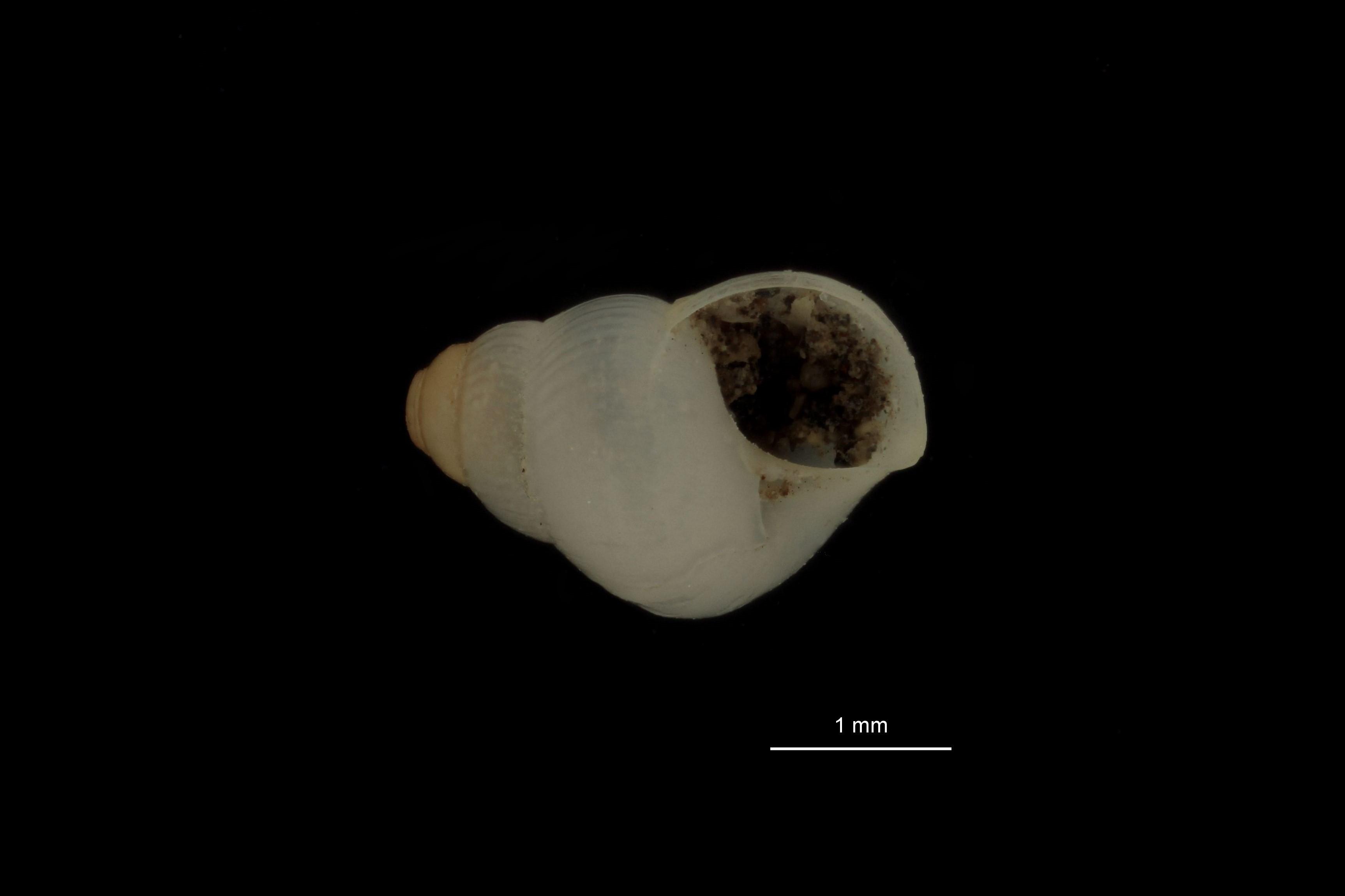 BE-RBINS-INV MT 776 Cithna jeffreysi pt F.jpg
