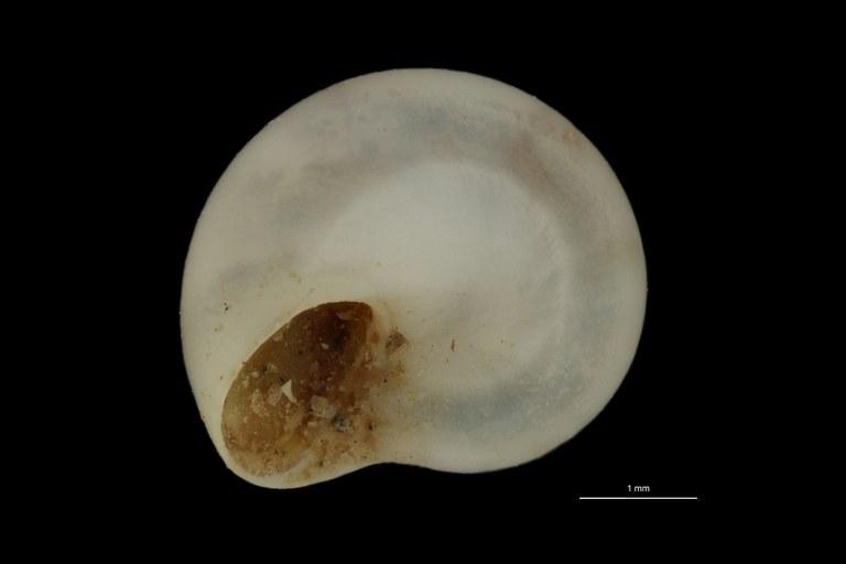 BE-RBINS-INV PARATYPE MT 796 Tenostoma azoricum BUCAL.jpg