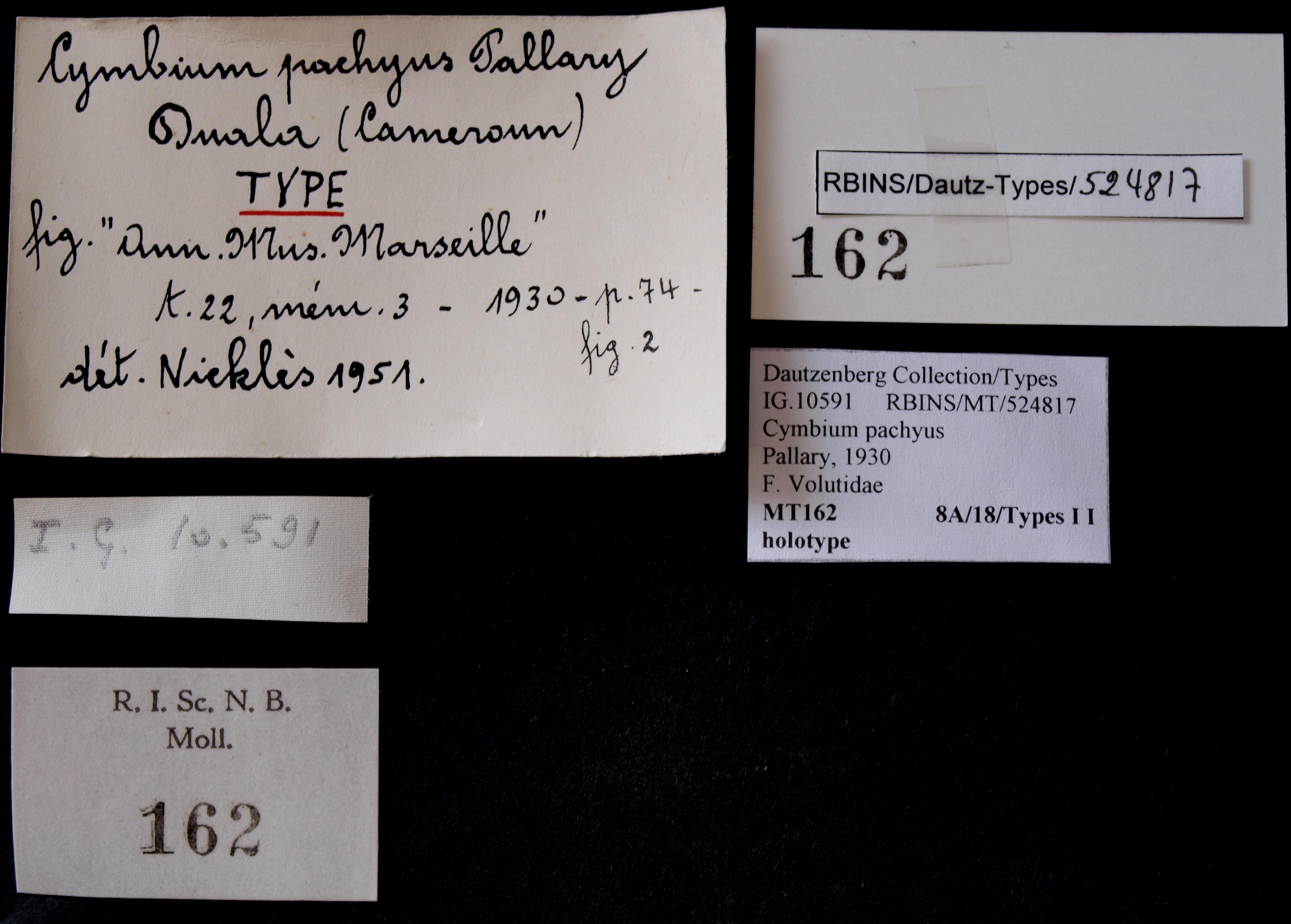 BE-RBINS-INV MT 162 Cymbium pachius Ht Lb.JPG