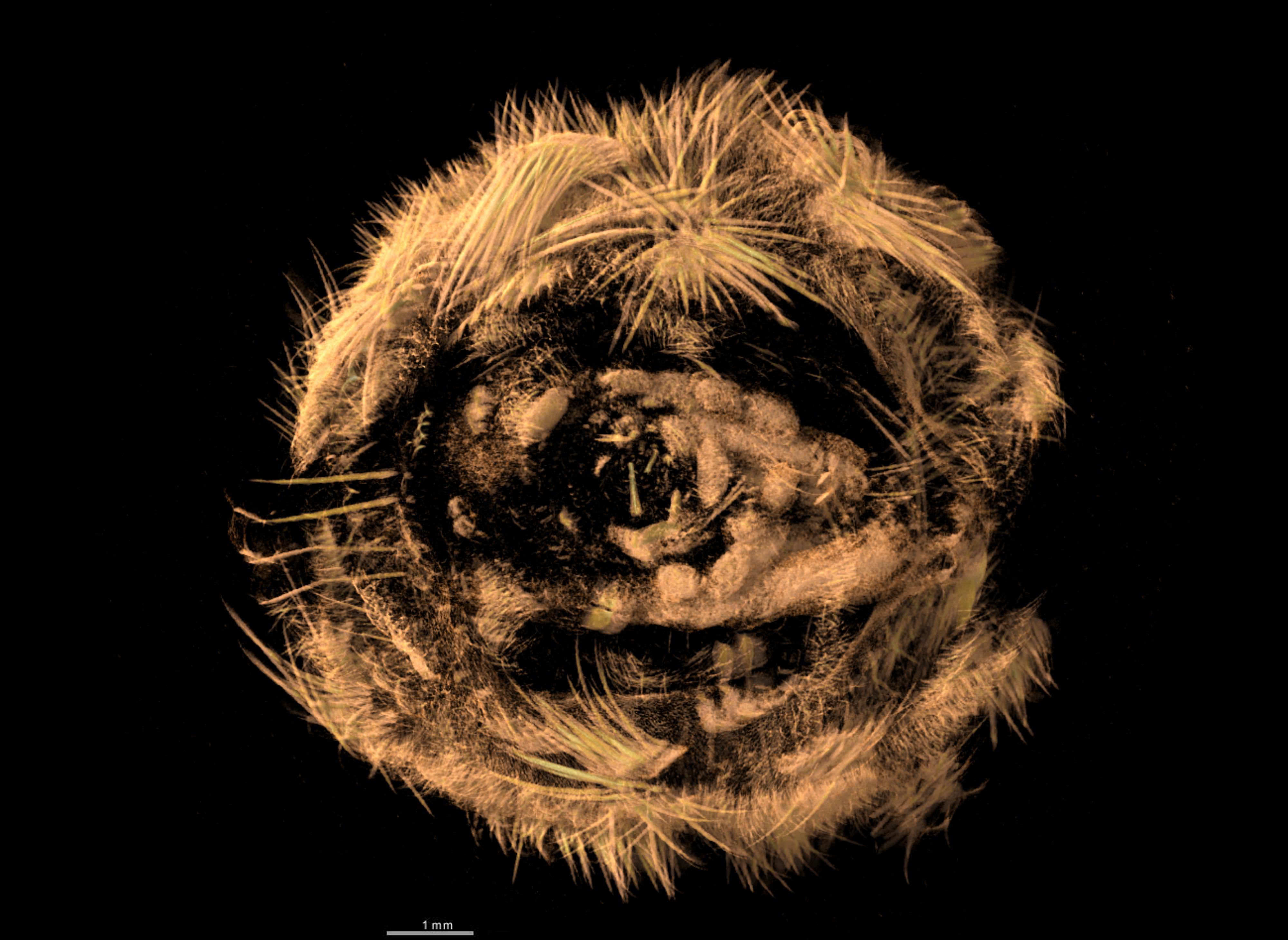 BE-RBINS-INV-TYPES-MT-3805-Acanthochites-leopoldi-DORSAL.jpg