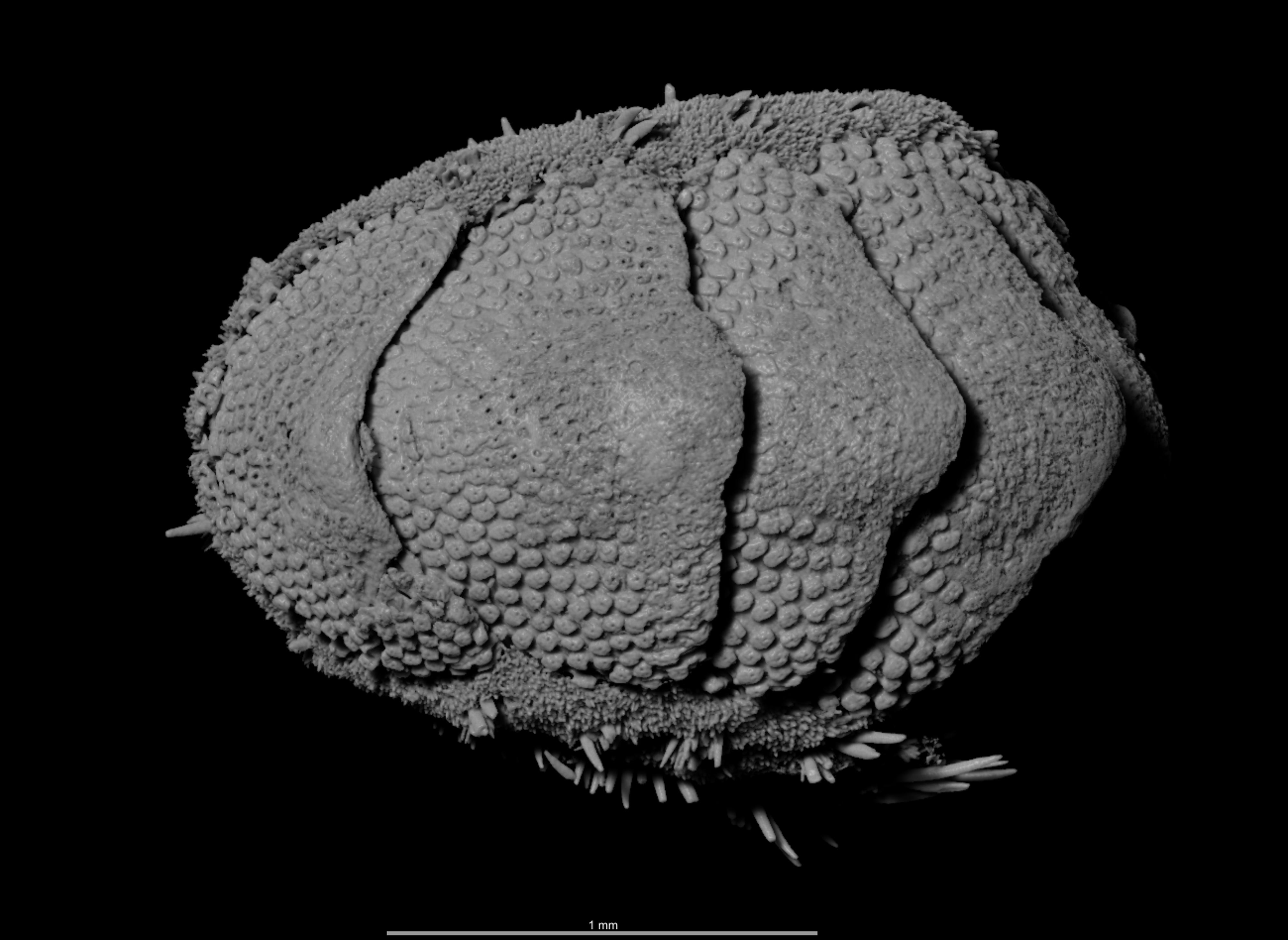 BE-RBINS-INV HOLOTYPE MT.2960/1 Acanthochiton minutus MICROCT XRE ANTERODORSAL.jpg