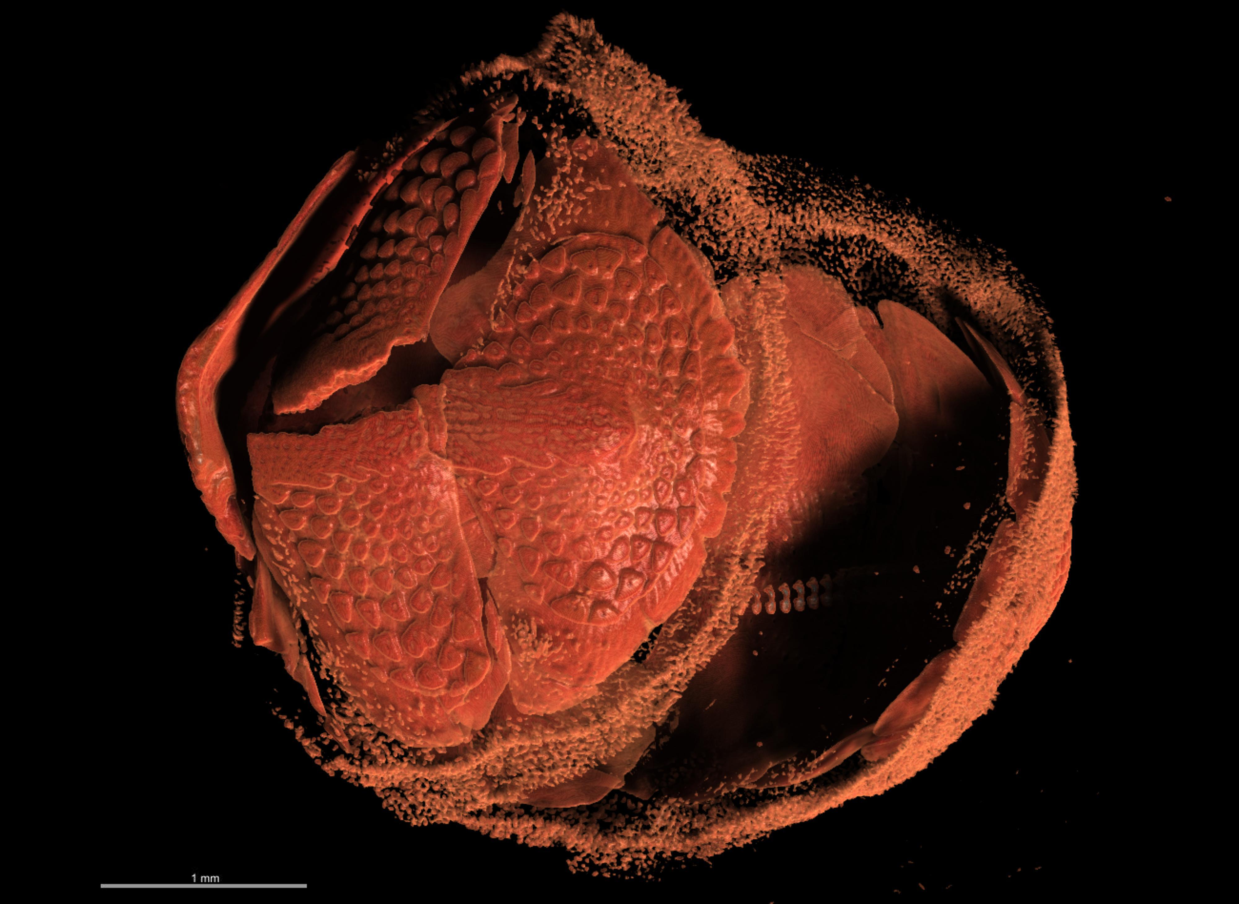 BE-RBINS-INV LECTOYPE MT.3804 Acanthochitona curvisetosus MICROCT XRE POSTERIOR.jpg