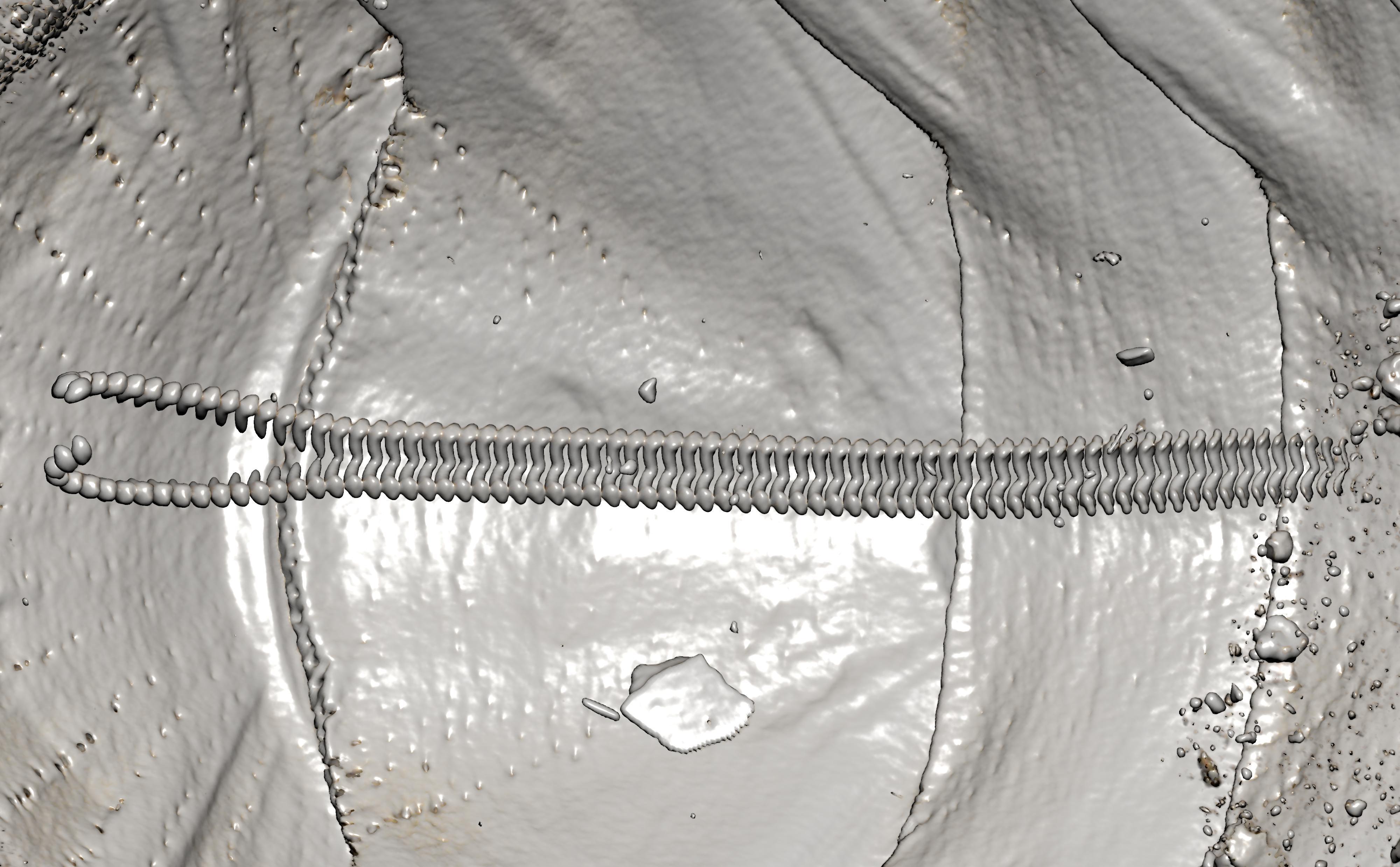 BE-RBINS-INV-TYPES-MT-3657-Ischnochiton-yemenensis-MICROCT-RX-RADULA.jpg
