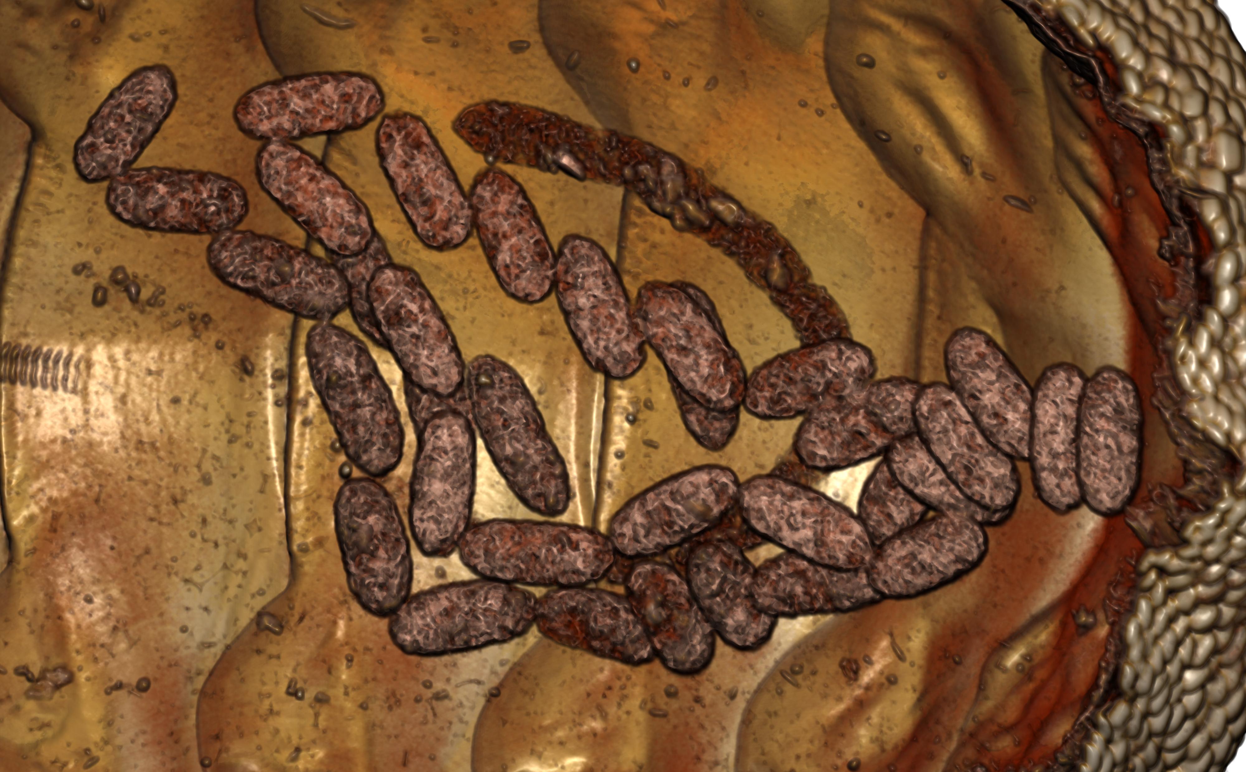 BE-RBINS-INV PARATYPE MT.3658 Ischnochiton (Ischnochiton) yemenensis MICROCT RX FAECES.jpg