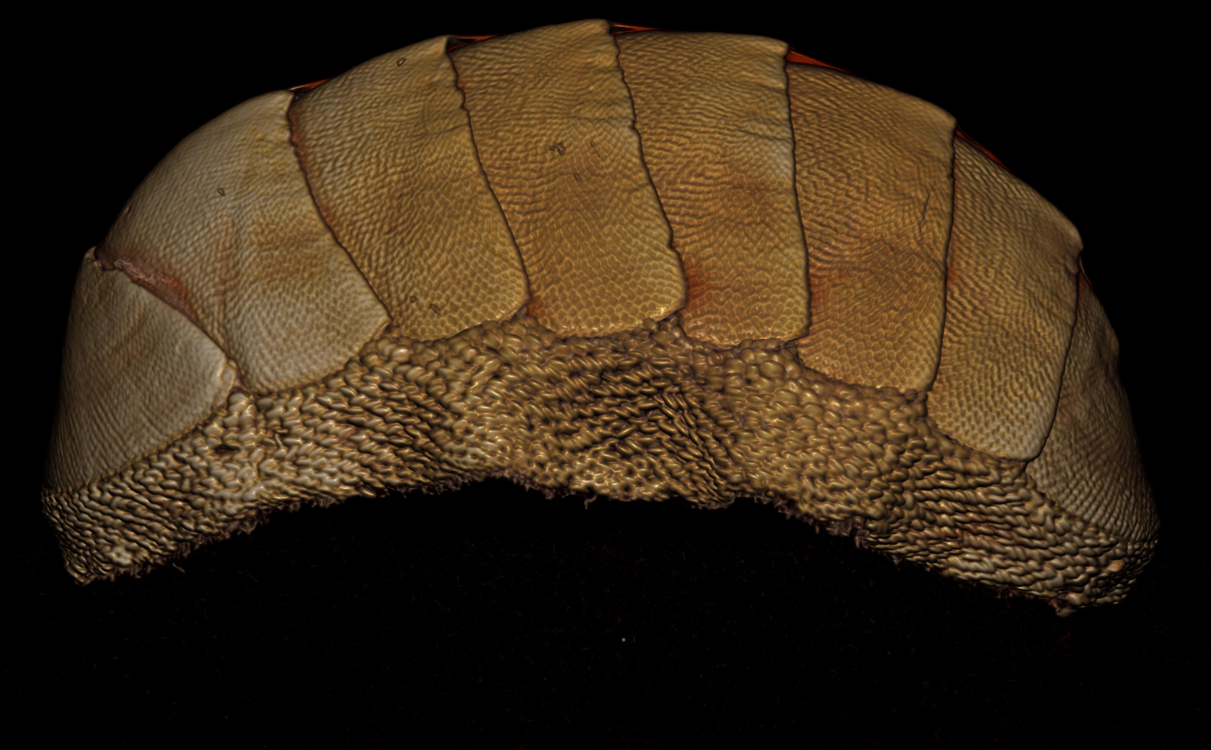BE-RBINS-INV PARATYPE MT.3658 Ischnochiton (Ischnochiton) yemenensis MICROCT RX LATERAL.jpg