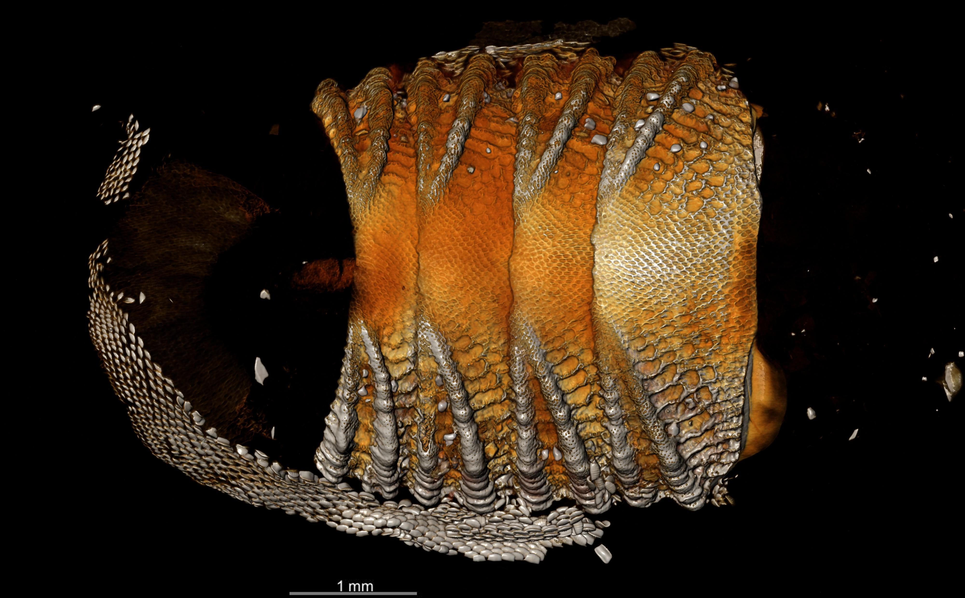 BE-RBINS-INV HOLOTYPE MT.3742/1 Callistochiton belliatus MICROCT XRE DORSAL.jpg