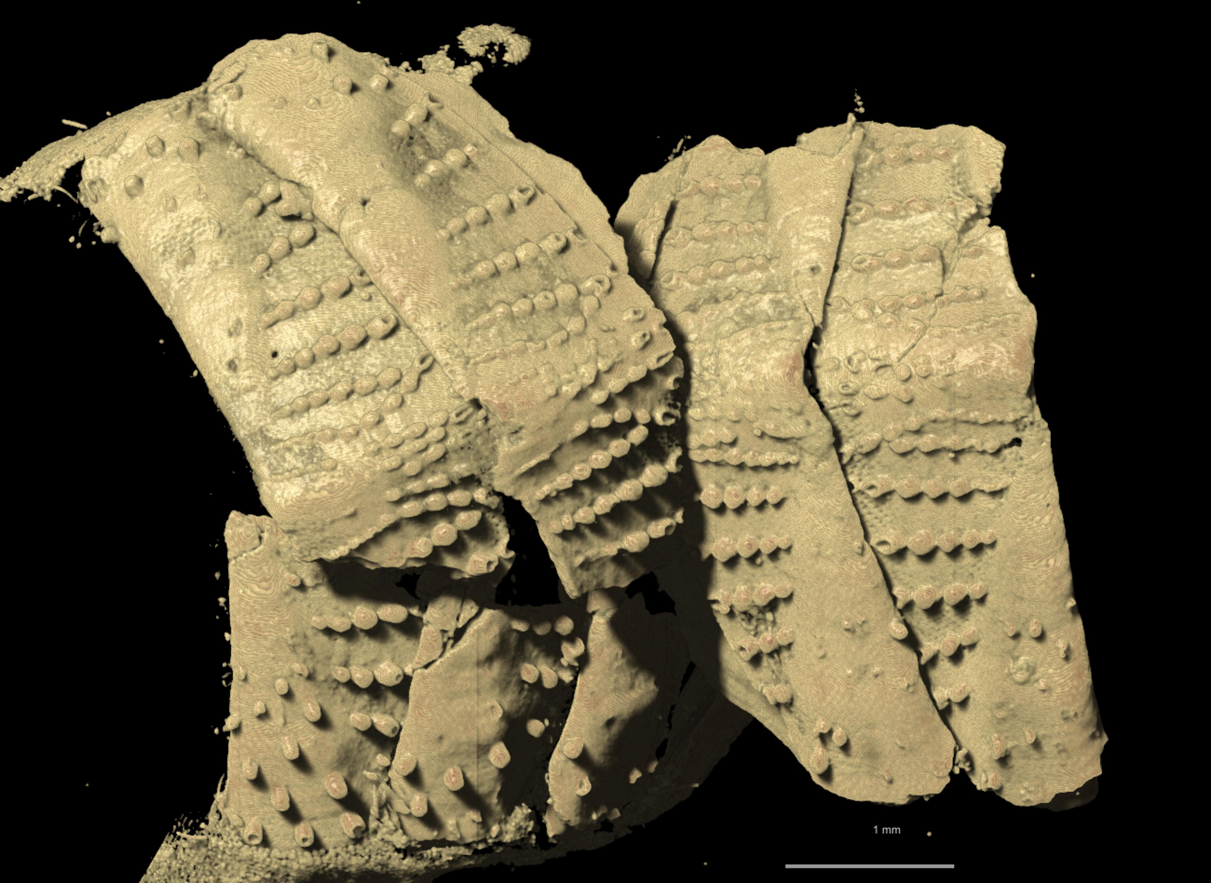 BE-RBINS-INV HOLOTYPE MT.3620/1 Chaetopleura unilineata CARCASS.jpg