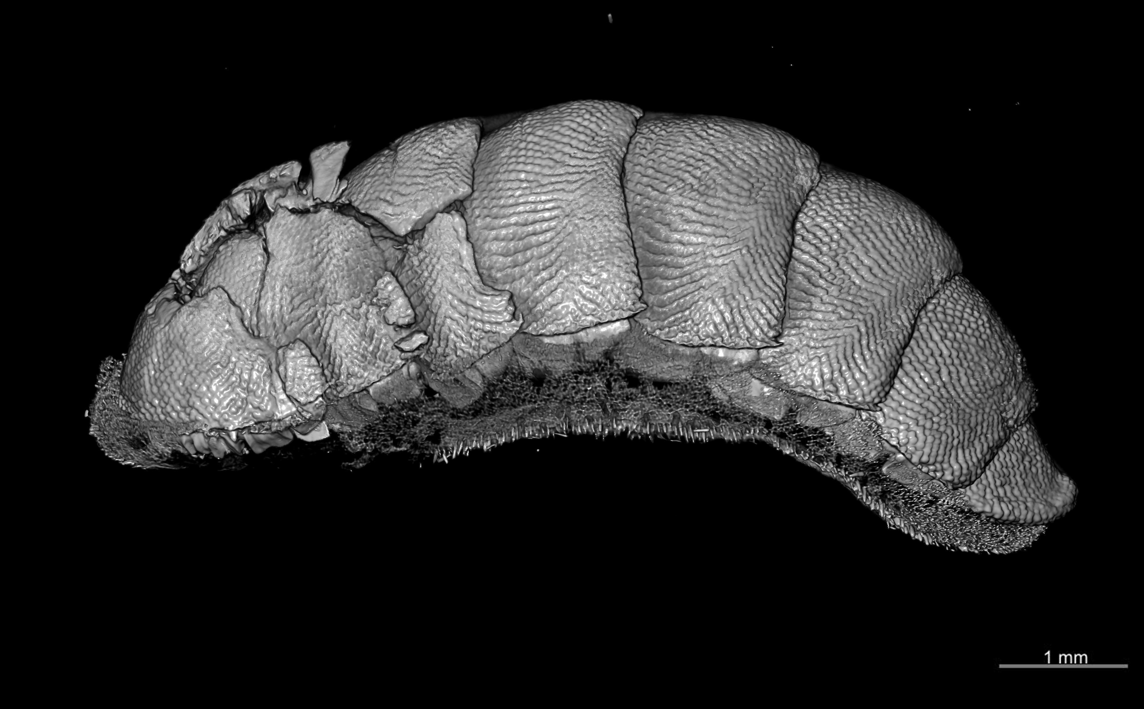 BE-RBINS-INV TOPOTYPE MT.3748 Plaxiphora (Plaxiphora) kamehamehae MCT XRE LATERAL.jpg
