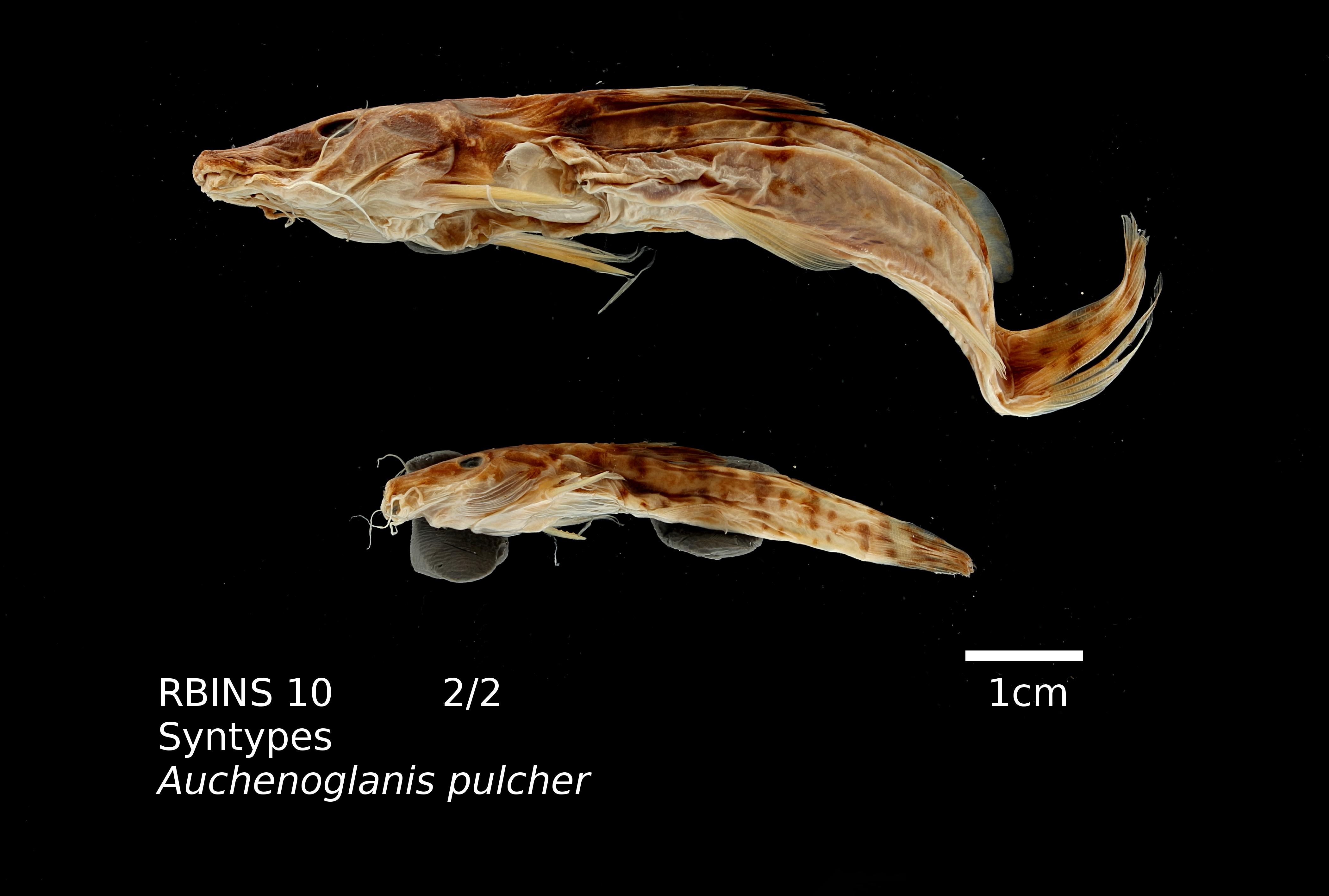 auchenoglanis pulcher RBINS 10 lat L.jpg