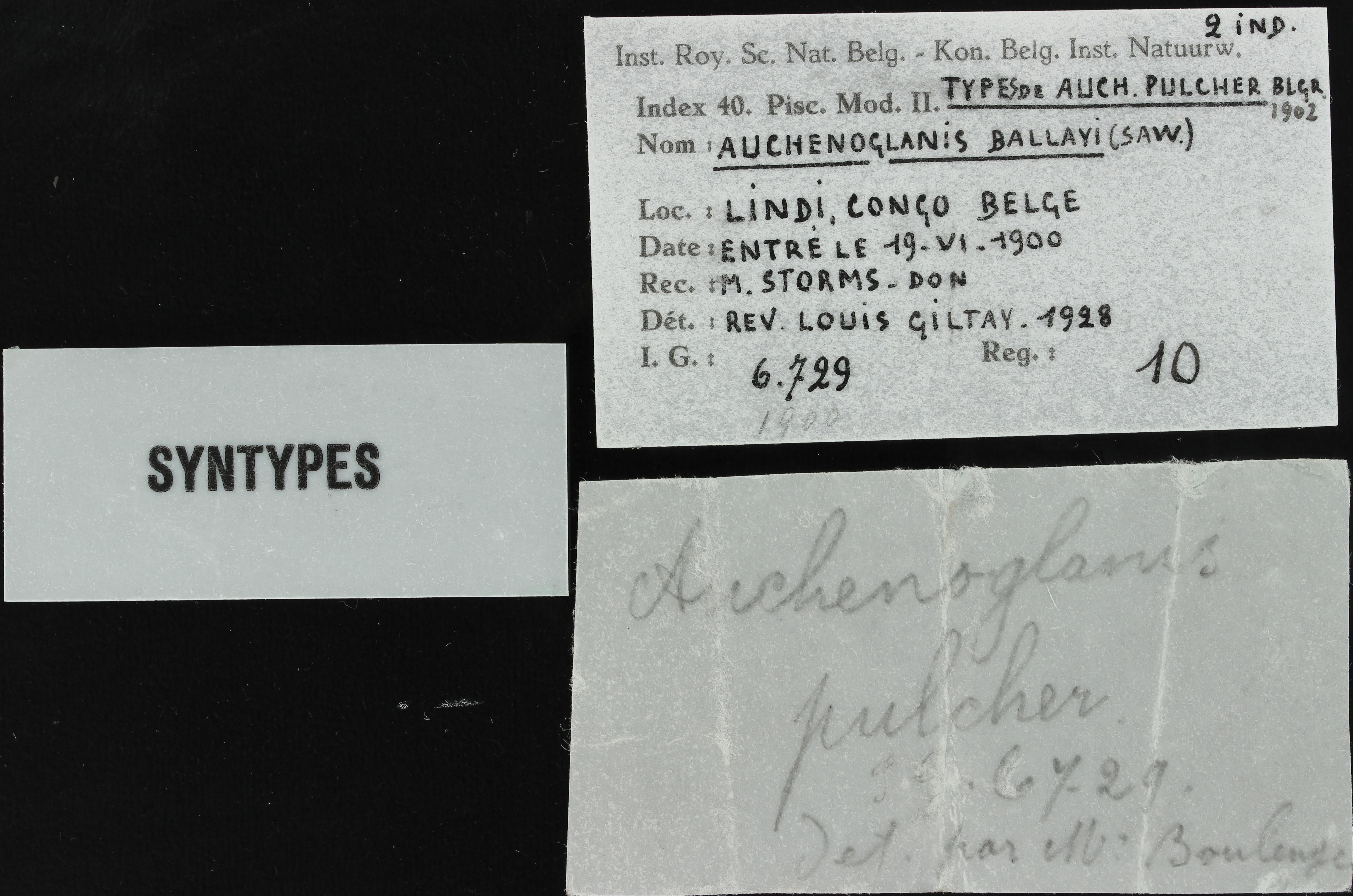 auchenoglanis pulcher RBINS 10 ticket.JPG