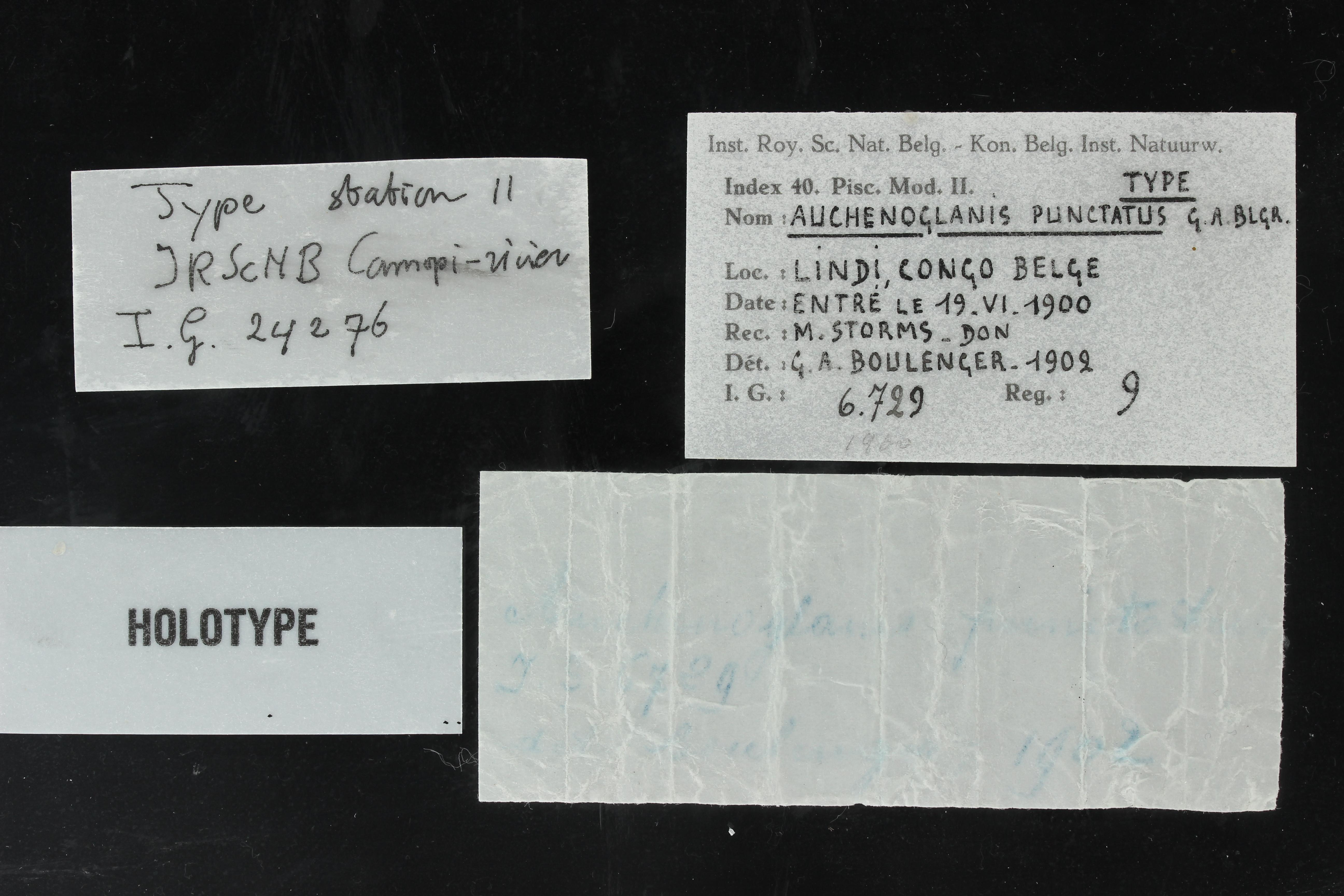 9 Auchenoglanis punctatus 6729 ticket.JPG