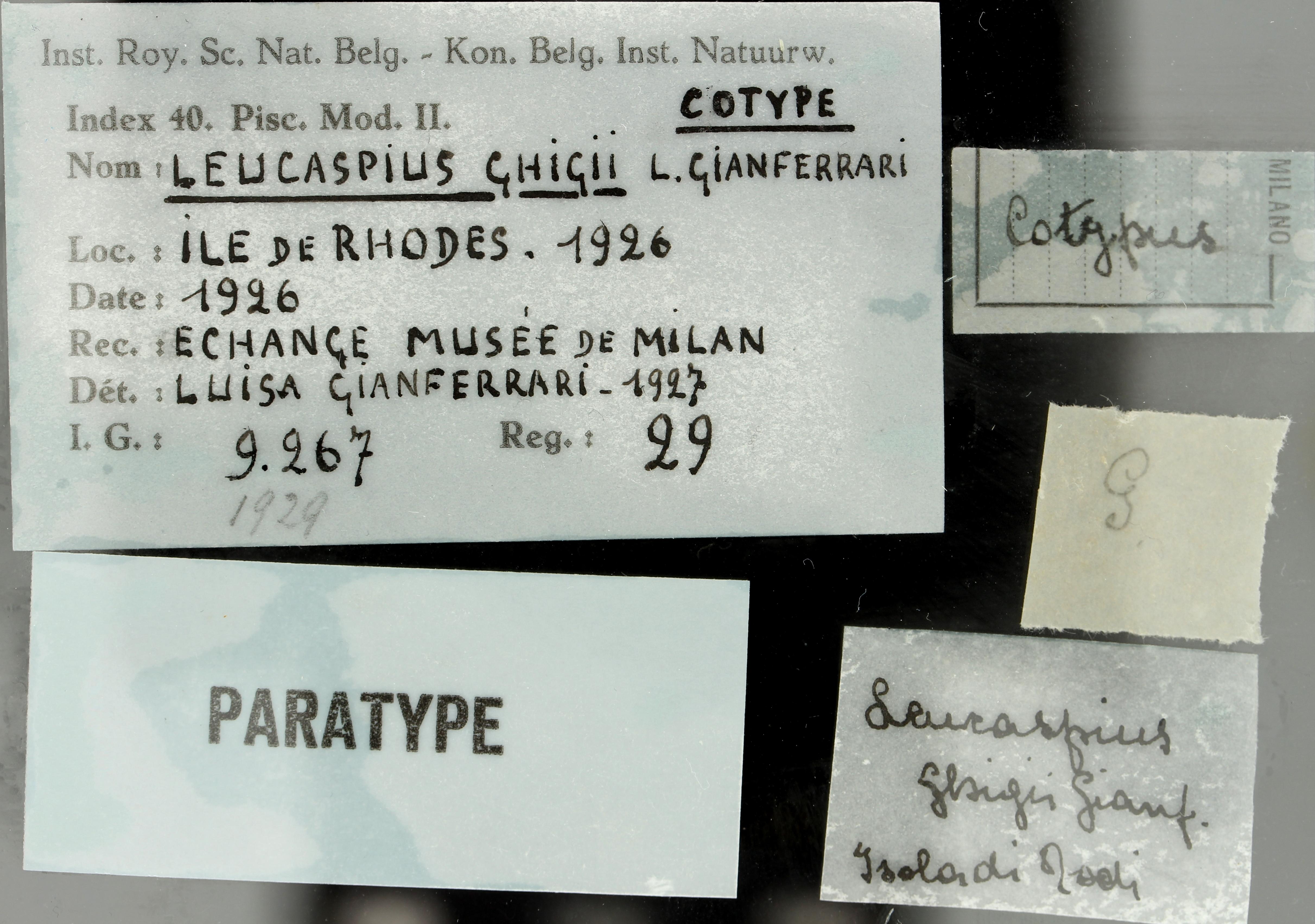 29 Leucaspius ghigii 9267 ticket.jpg
